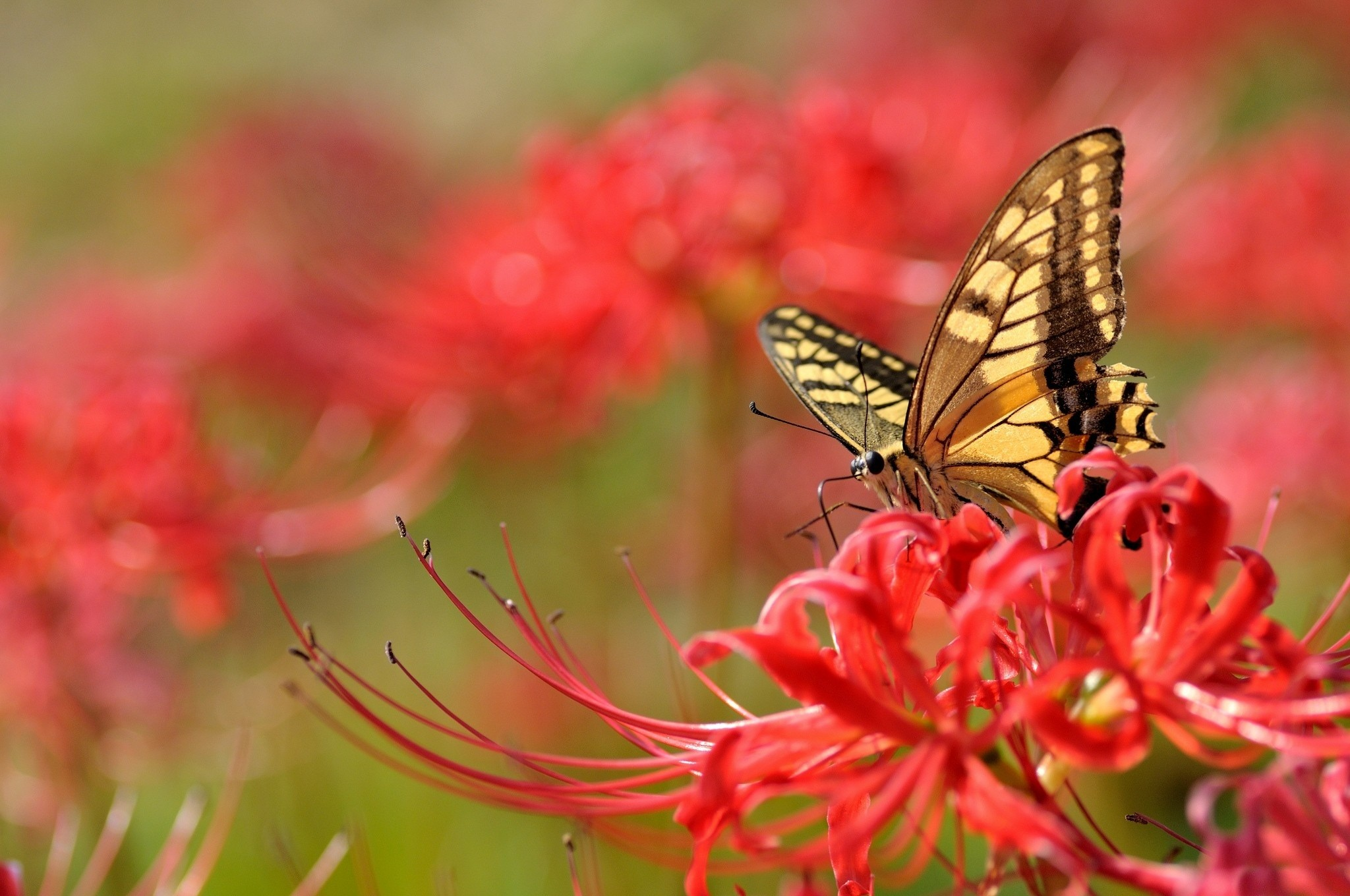 Res: 2048x1360, Animal - Butterfly Wallpaper