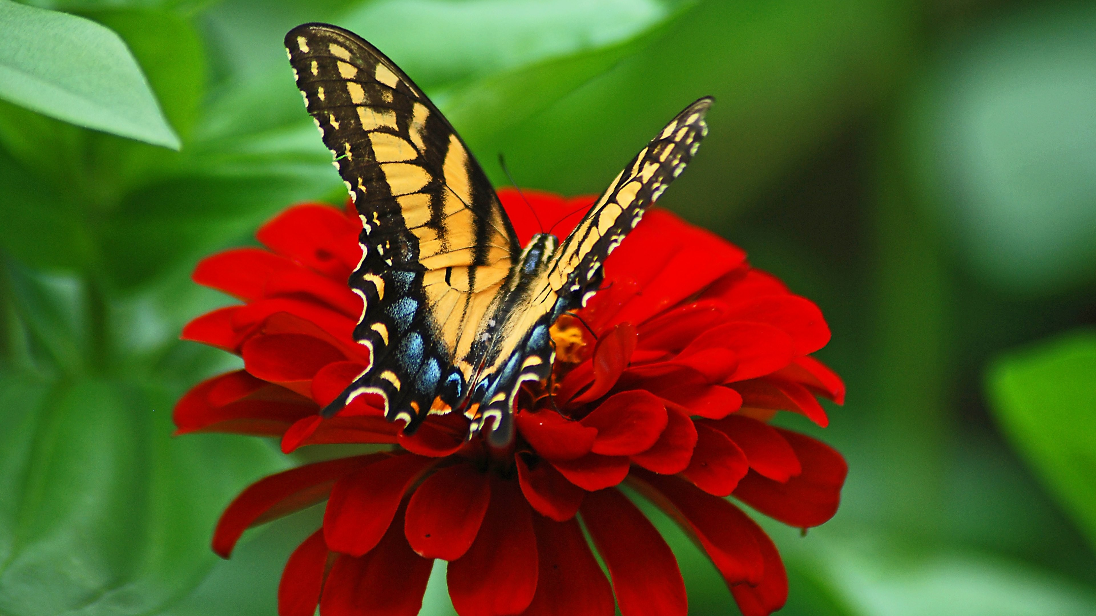 Res: 3840x2160, Description: Download Butterfly on the red ...