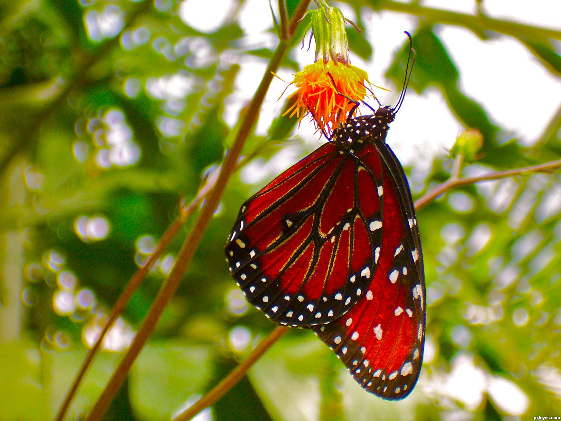 Res: 2304x1728, Red Butterfly Wallpaper