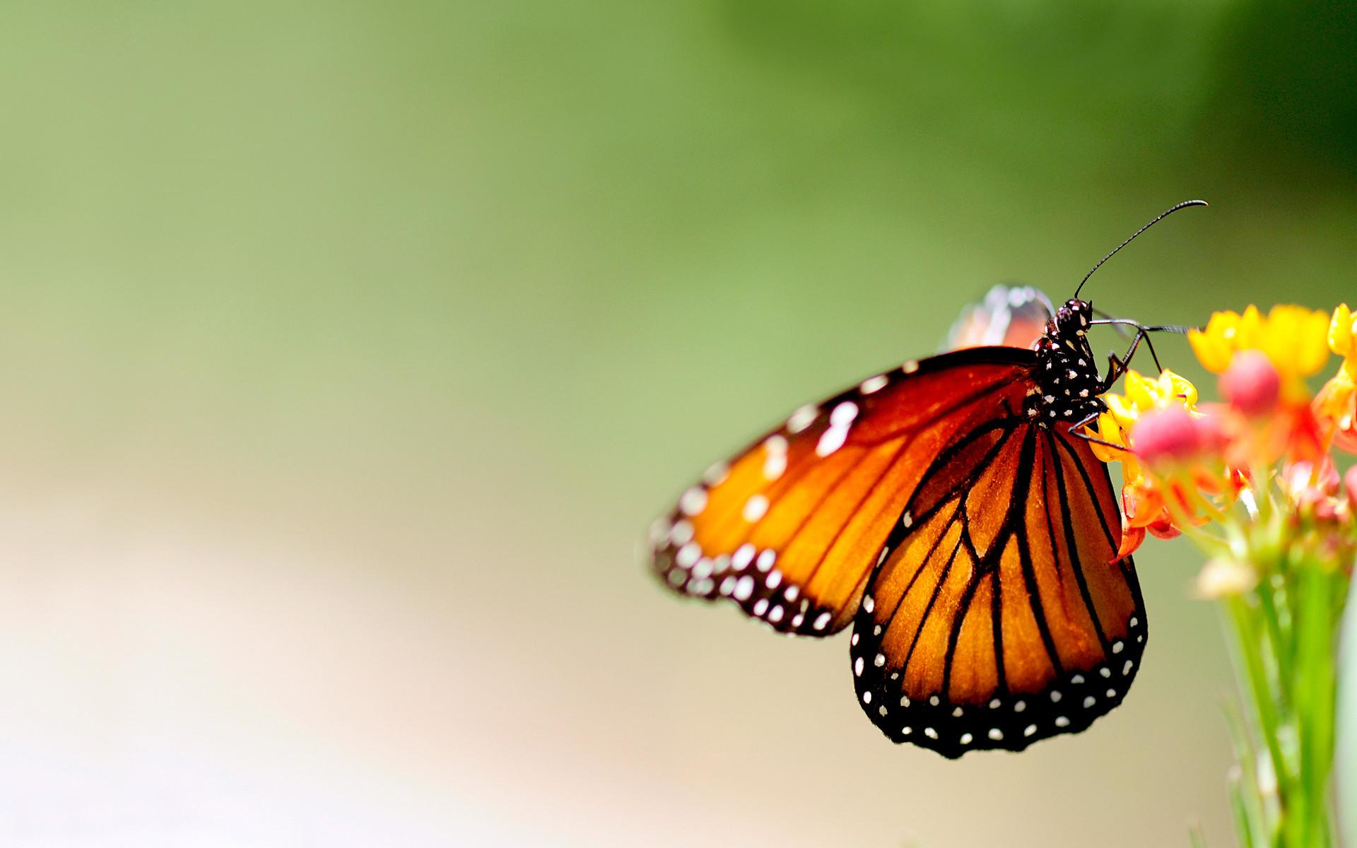 Res: 1920x1200, Butterfly Wallpaper Desktop Background