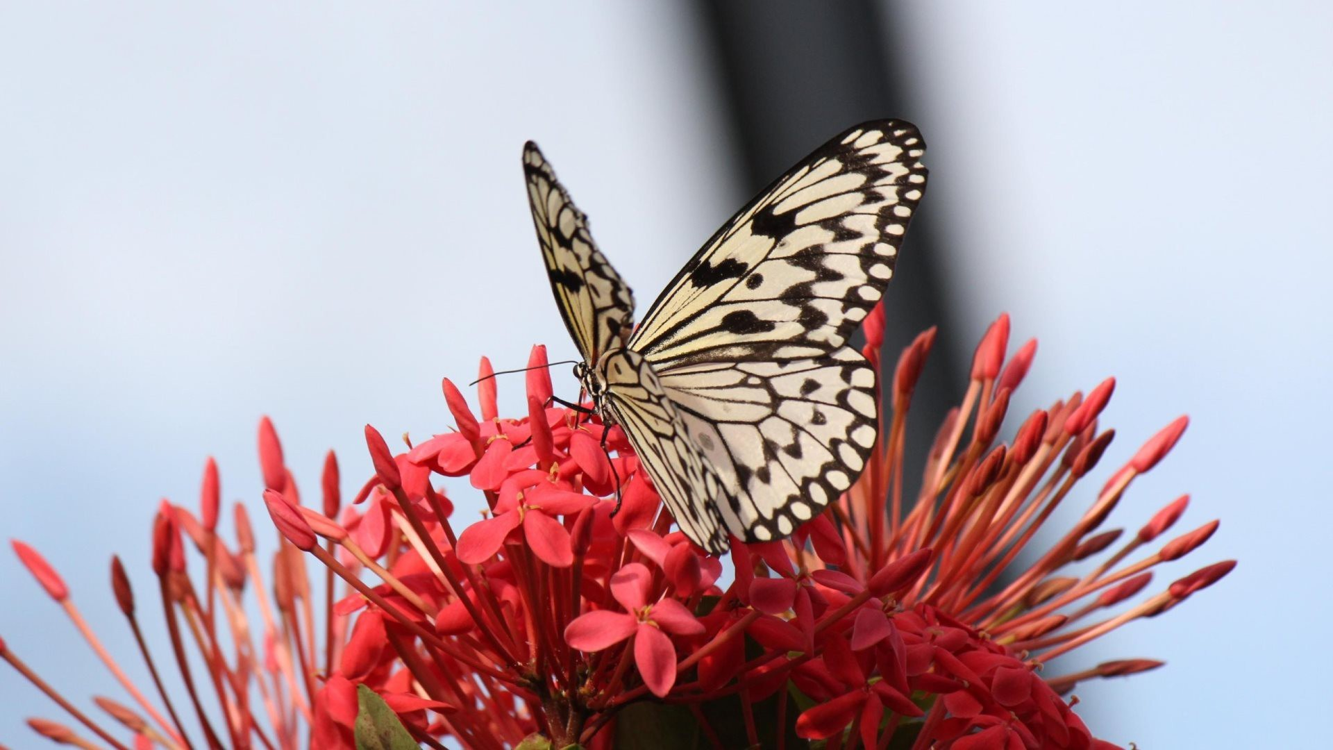 Res: 1920x1080, Butterfly onRed Flowers HD Wallpapers