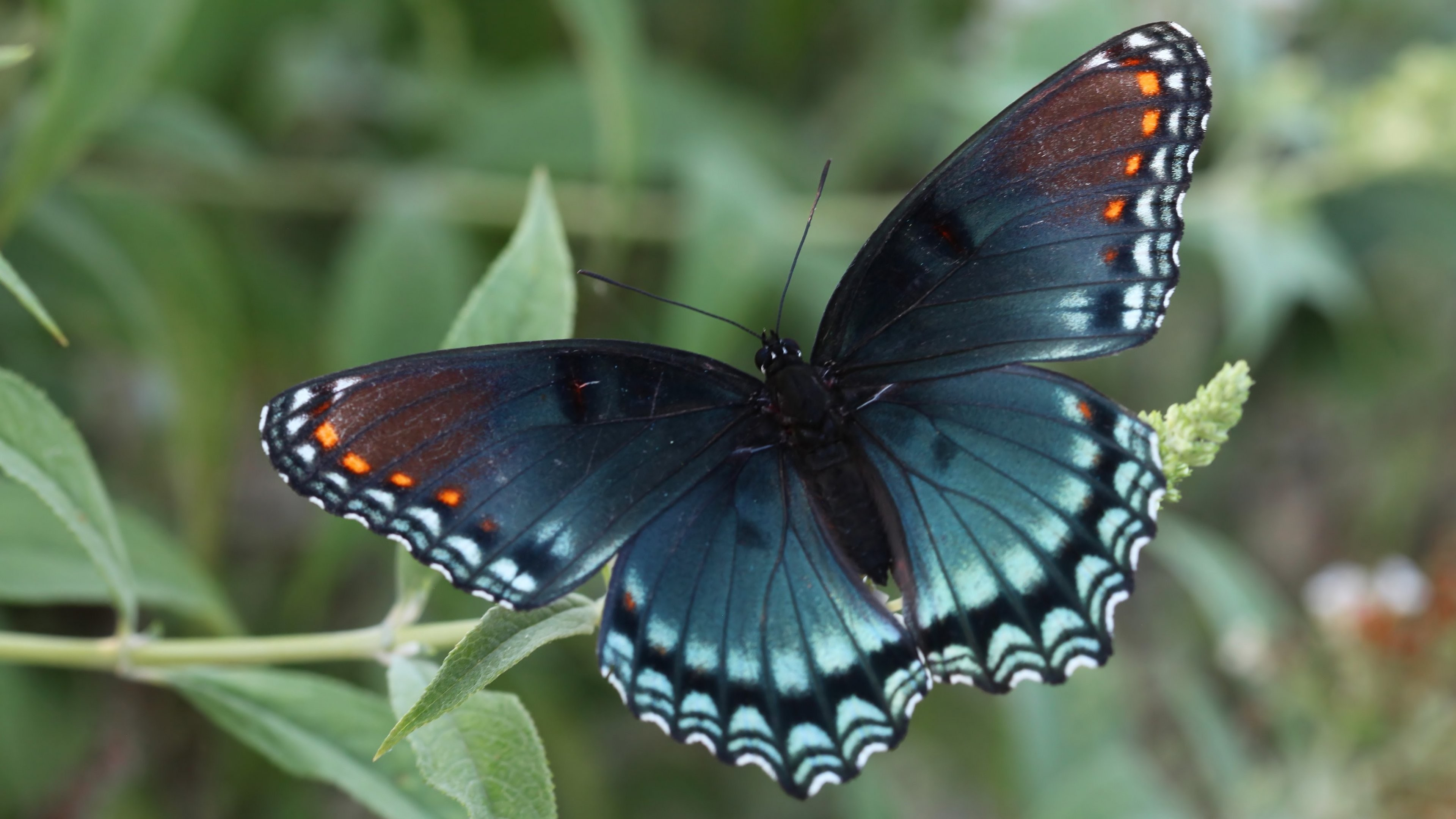 Res: 3840x2160, Red Spotted Purple Butterfly