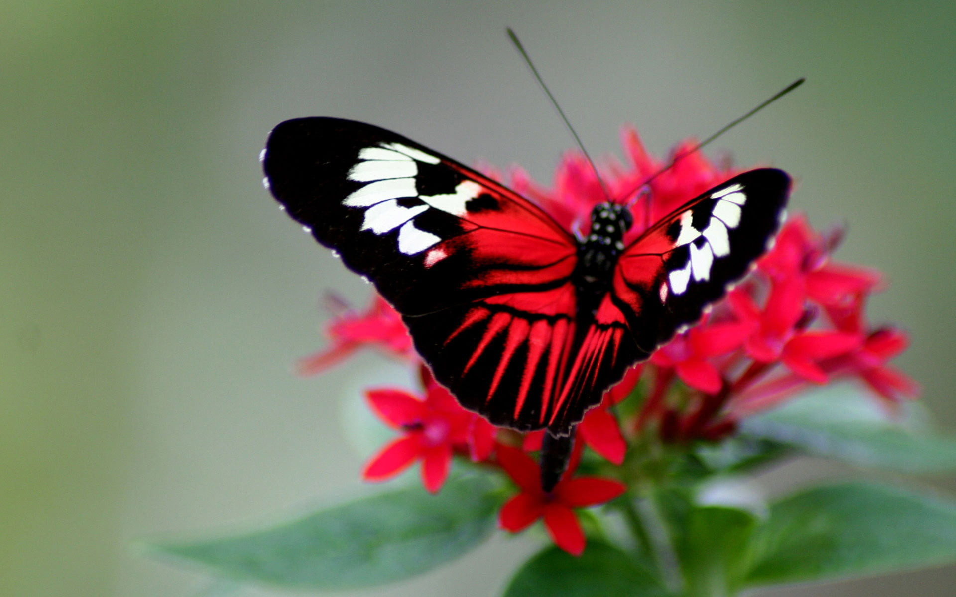 Res: 1920x1200, white, black, and red Butterfly on red petaled flower screenshot HD  wallpaper
