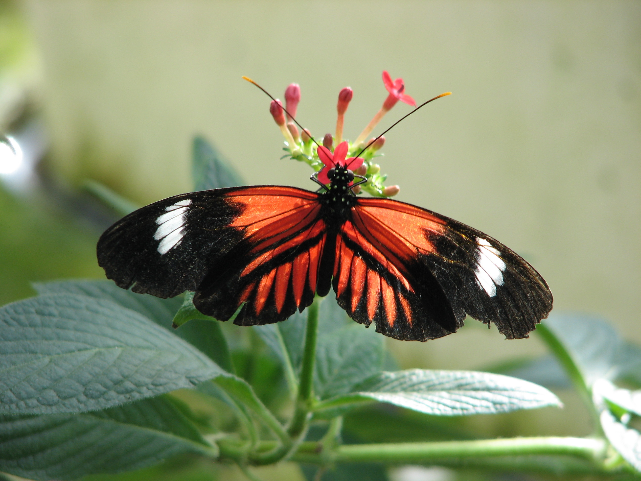 Res: 2592x1944, Red Butterfly