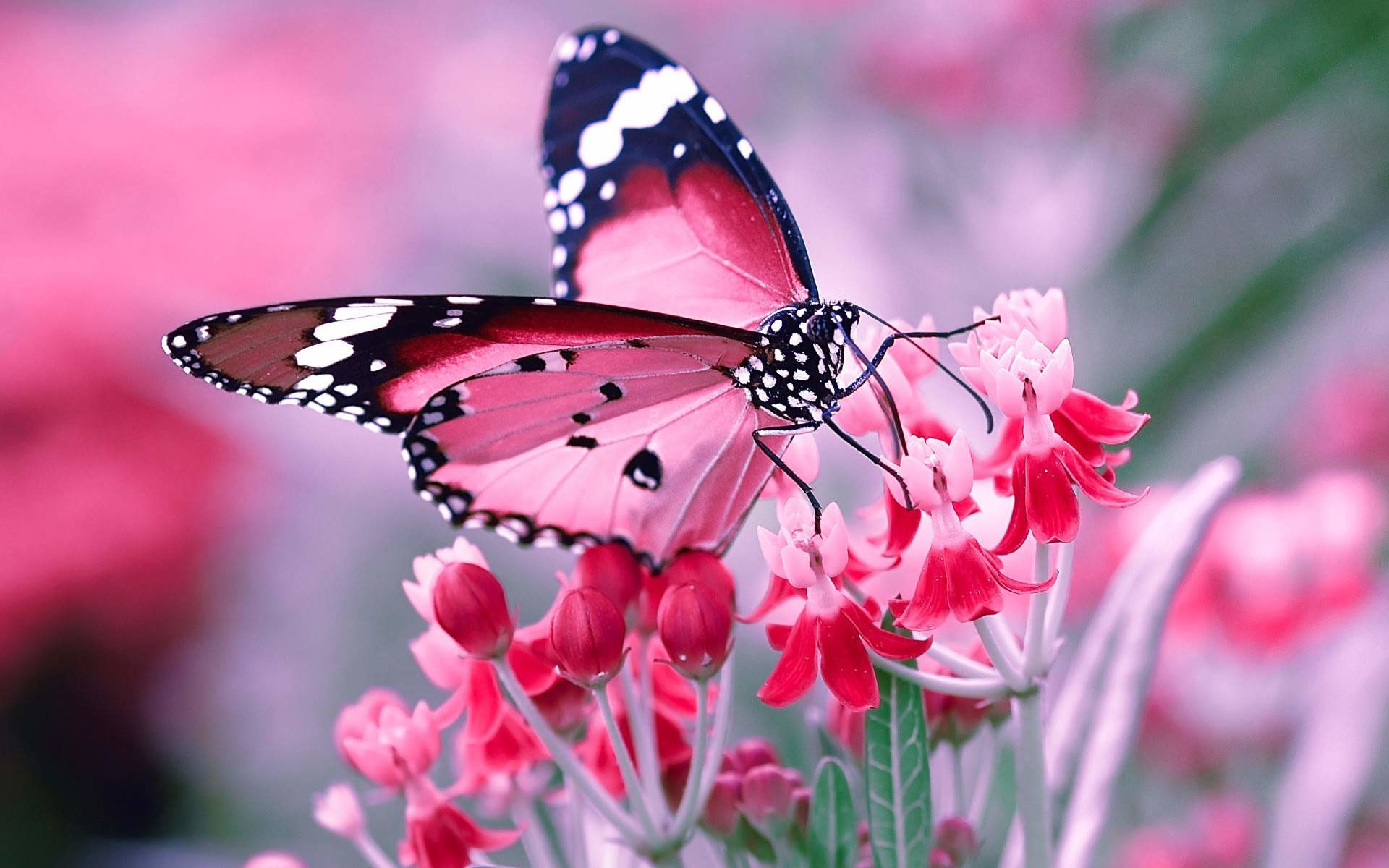 Res: 1920x1200, Butterfly Wallpaper High Quality