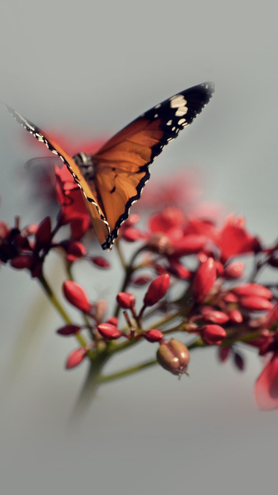 Res: 1080x1920, Nature Butterfly Flower Red #iPhone #6 #plus #wallpaper