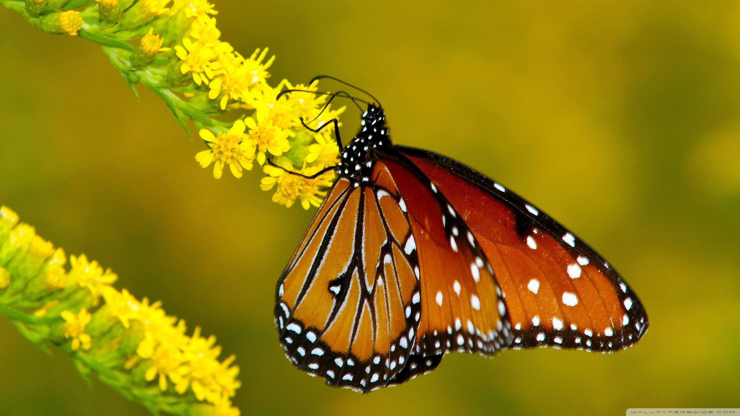 Res: 2560x1440, Butterfly Wallpaper Widescreen