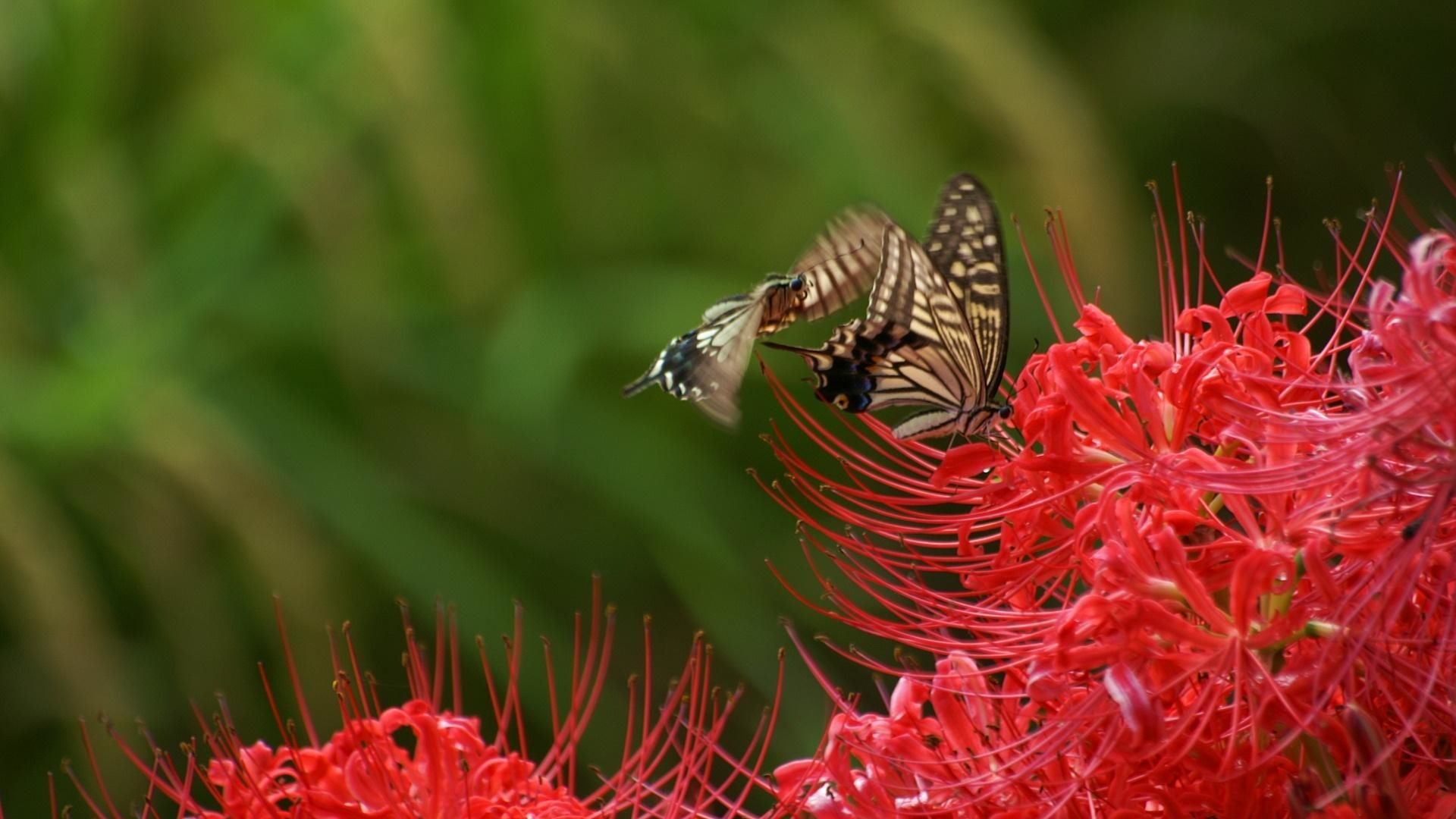 Res: 1920x1080,  flori red flowers butterfly wallpapers full HD 1080p desktop  backgrounds