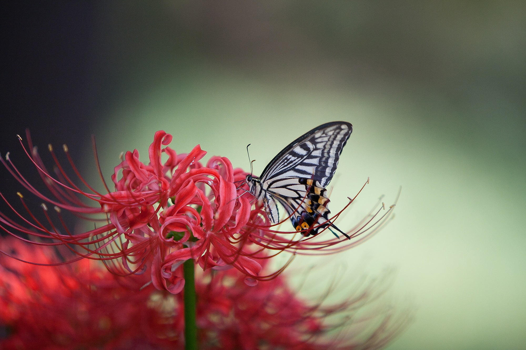 Res: 2000x1333, Zebra Swallowtail perched on red petaled flower HD wallpaper