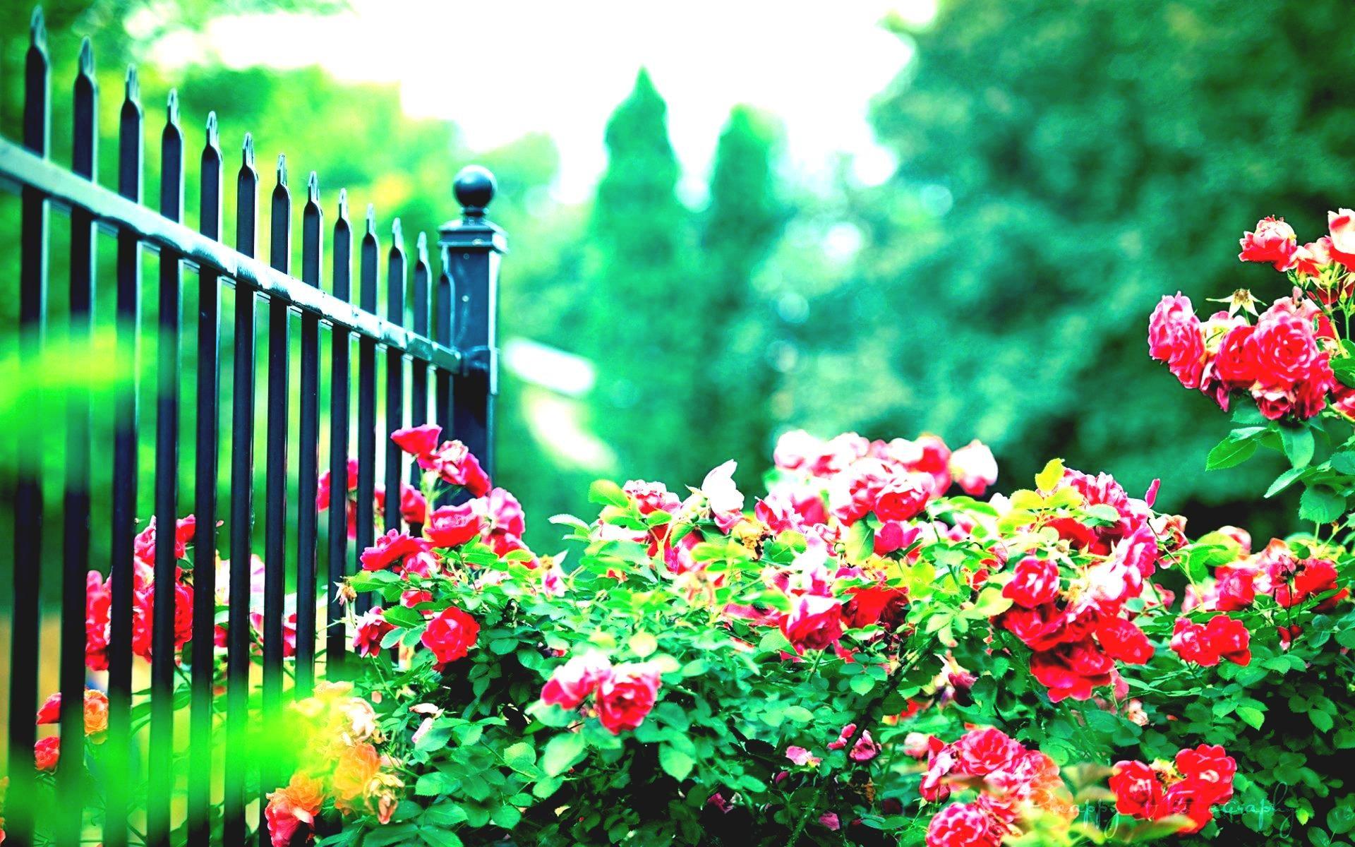 Res: 1920x1200, Beautiful Spain Roses In Garden Wallpaper Wallpapers New Hd