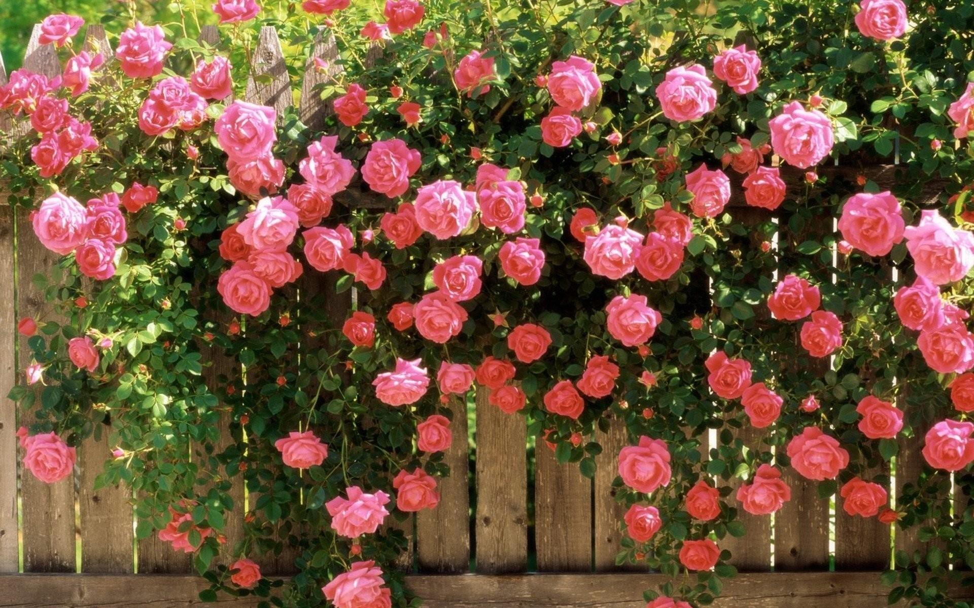 Res: 1920x1200, widescreen beauty nature flower pink rose garden spring photos hd