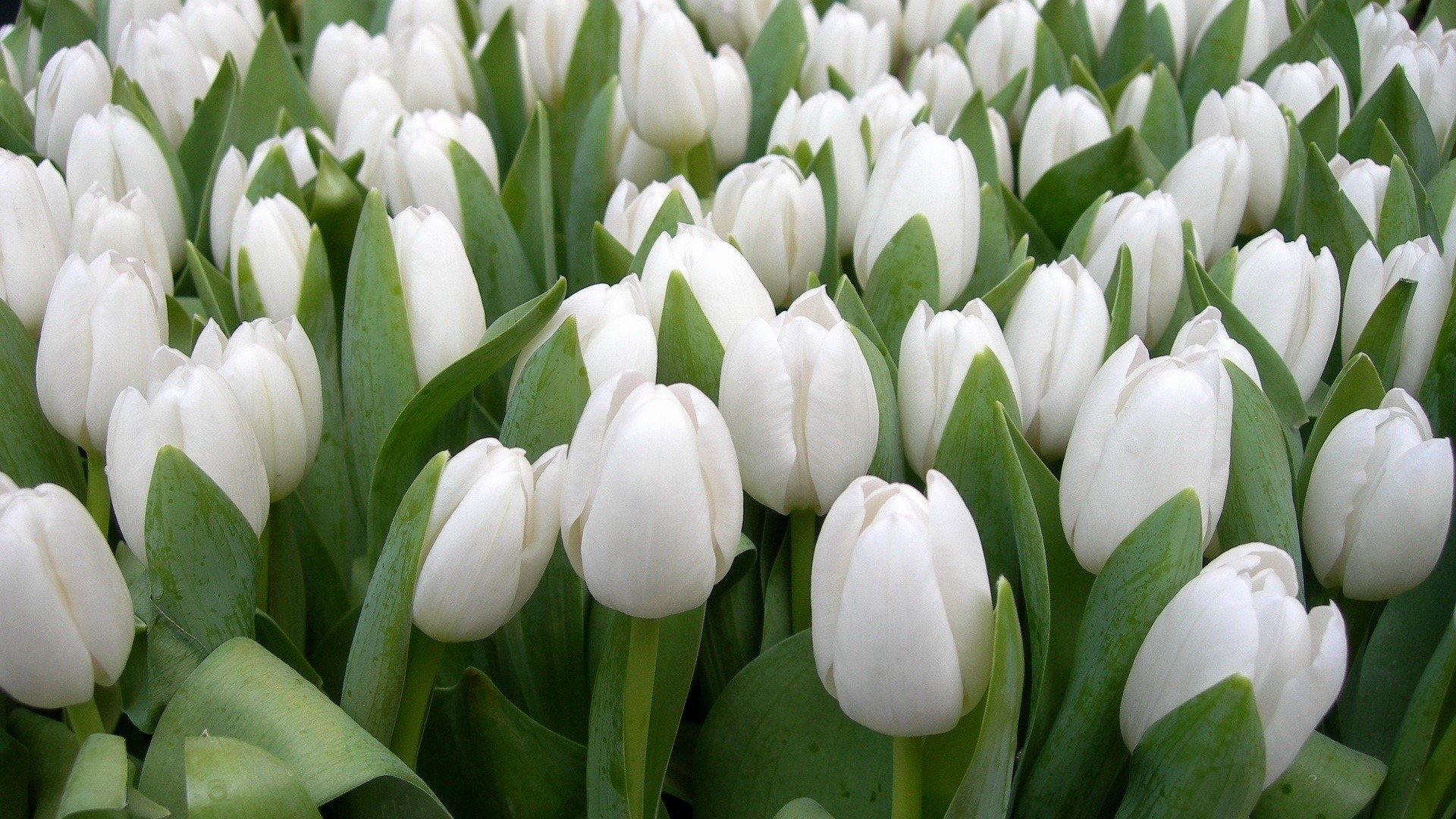 Res: 1920x1080, White tulips flowers beautiful garden wallpapers
