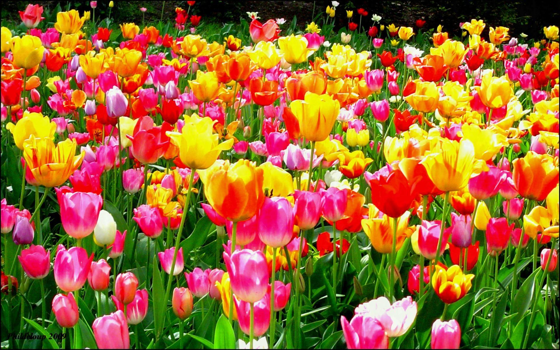 Res: 1920x1200, Tulip Flower Garden Wallpaper Eleletsitz Images Dream Spring Beautiful  Gardenx