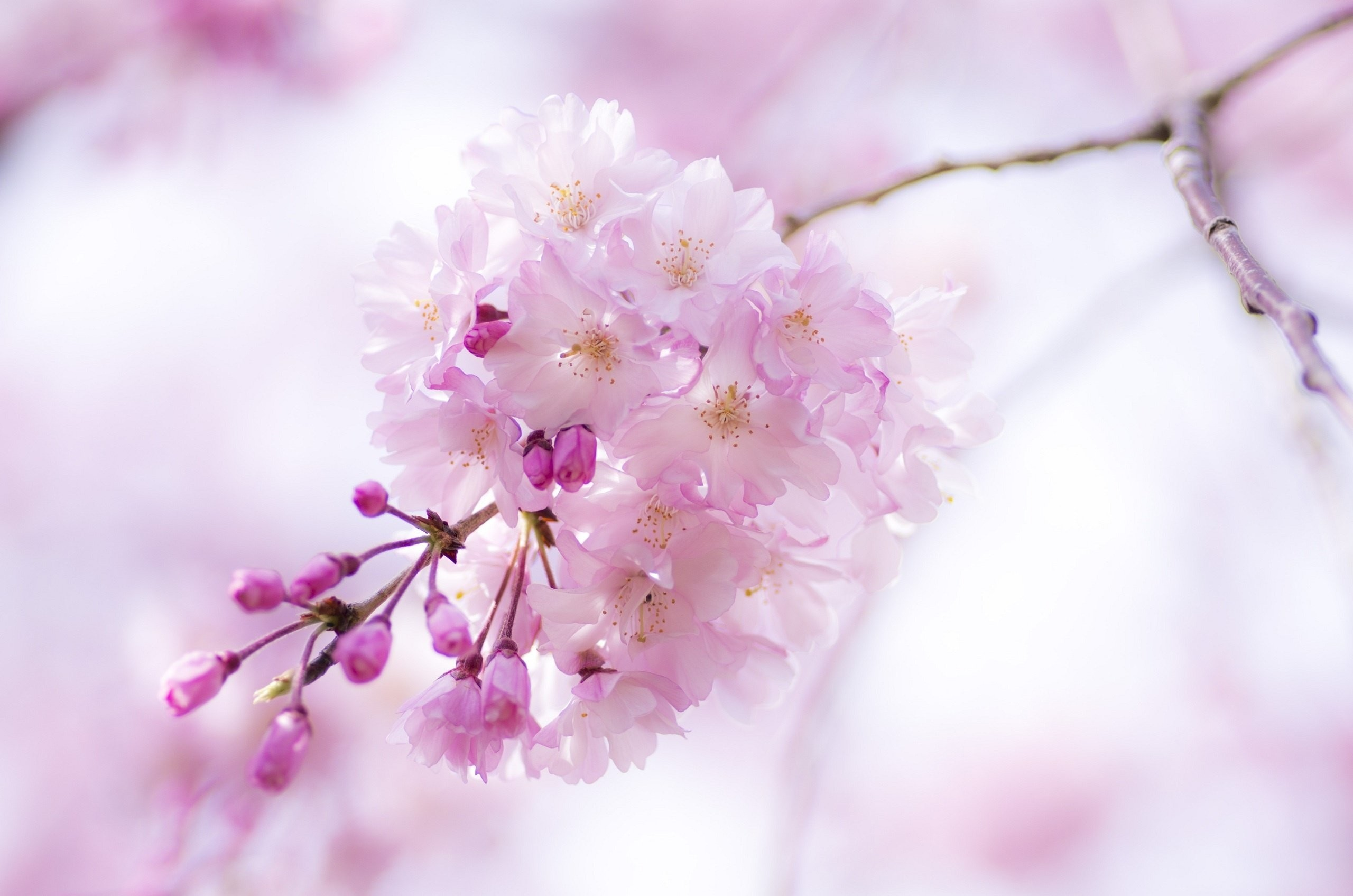 Res: 2560x1695, Spring Blossom Flowers Music