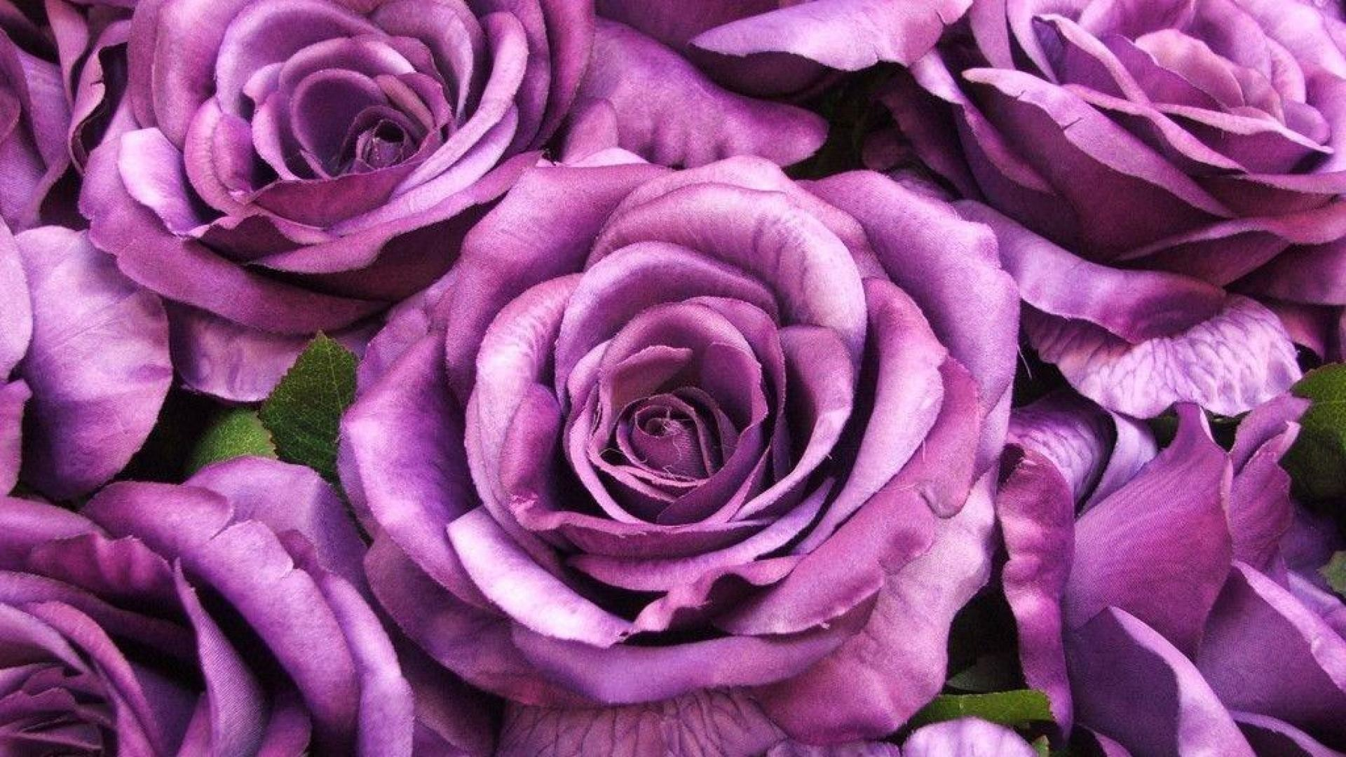 Res: 1920x1080, purple rose flowers Widescreen Wallpaper