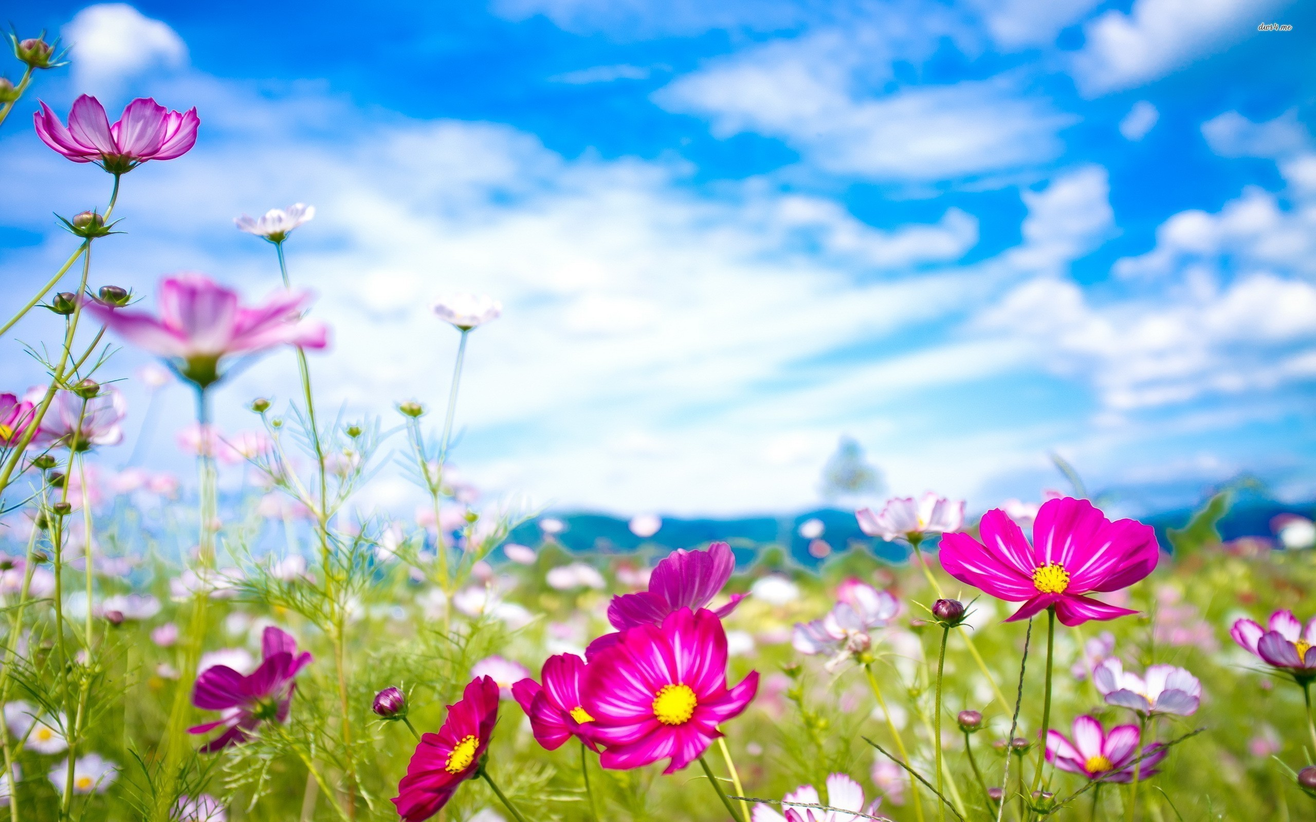 Res: 2560x1600, 1920x1200 flower backgrounds | Cosmos flowers Wallpaper | High Quality  Wallpapers, Wallpaper Desktop .