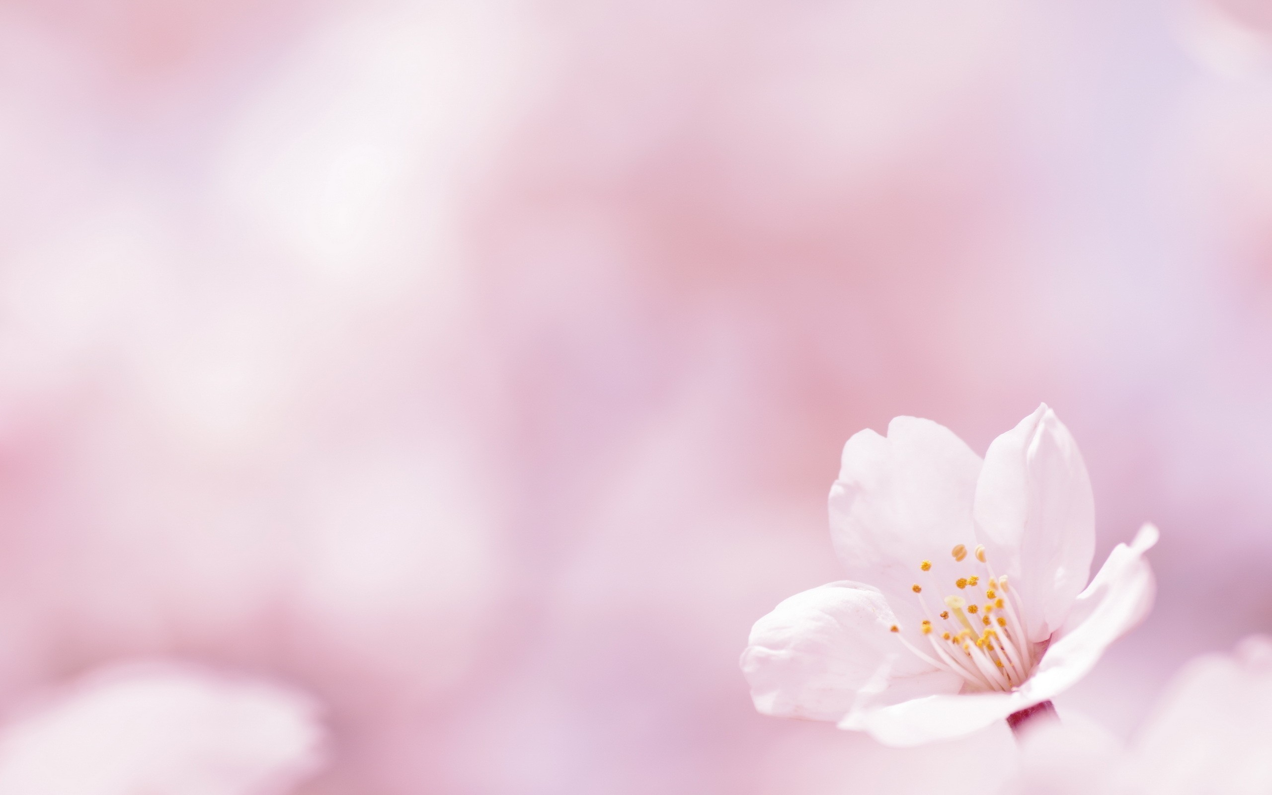 Res: 2560x1600,  Flower on a white background wallpapers and images wallpapers  #3830