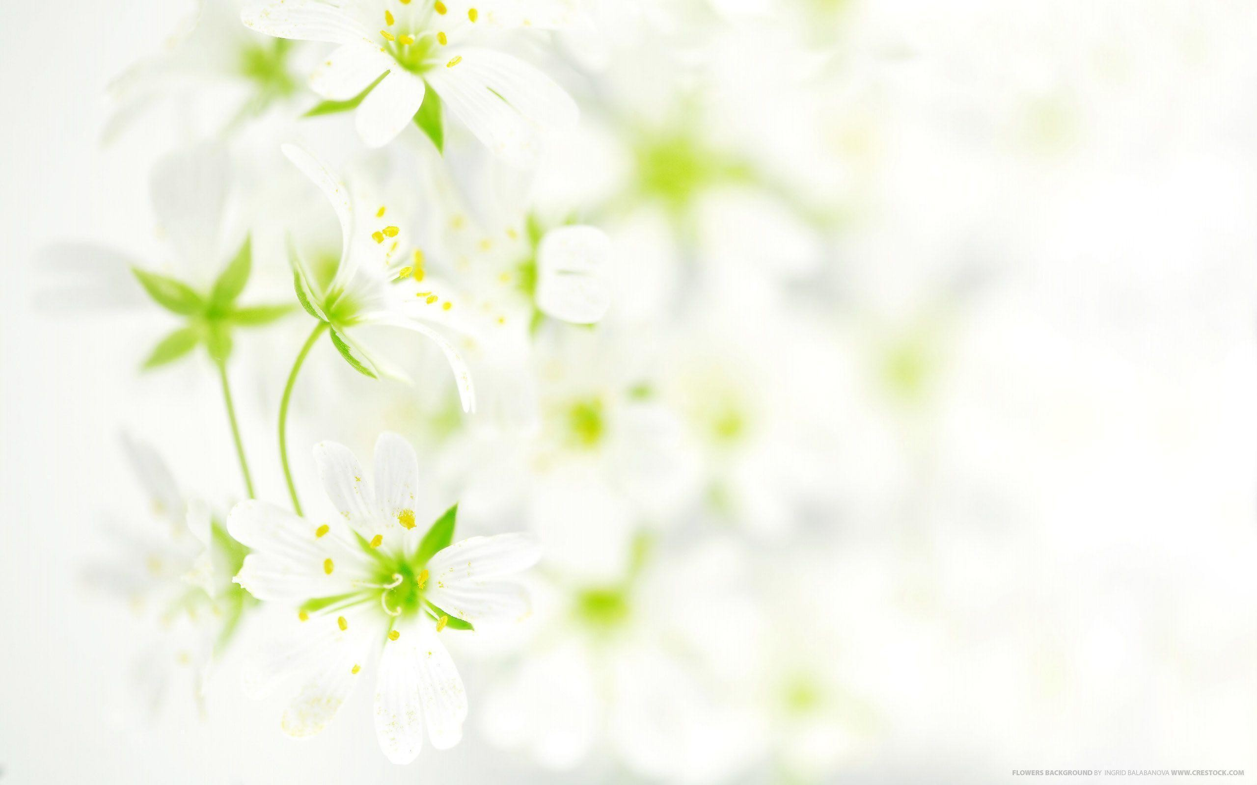 Res: 2560x1600, Flower Images With White Background Wallpaper | ForestHDWallpaper.