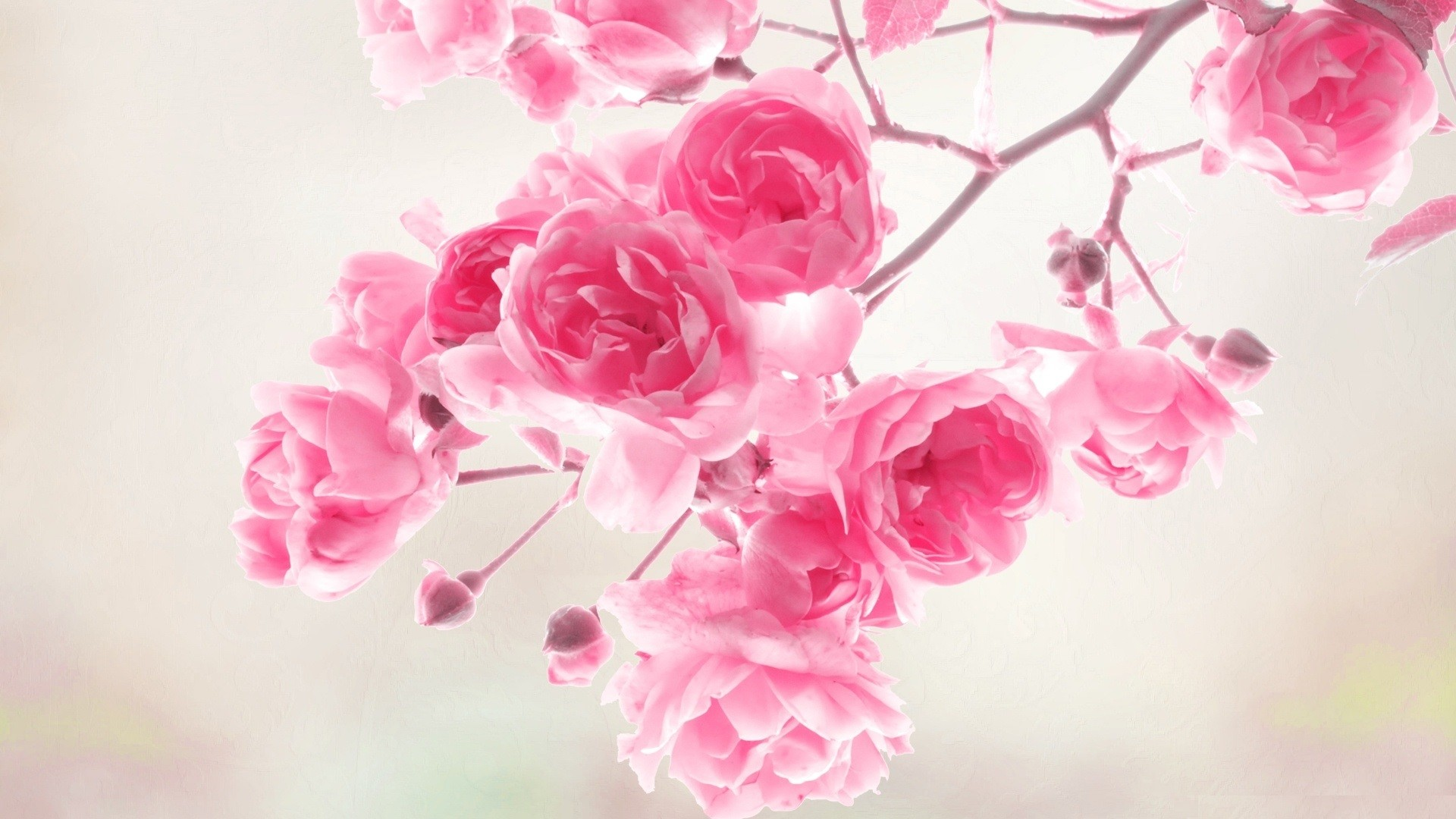 Res: 1920x1080, Wallpaper Hd For Best Peach Flower Images Flowers Background High Quality  Mobile Full Desktop