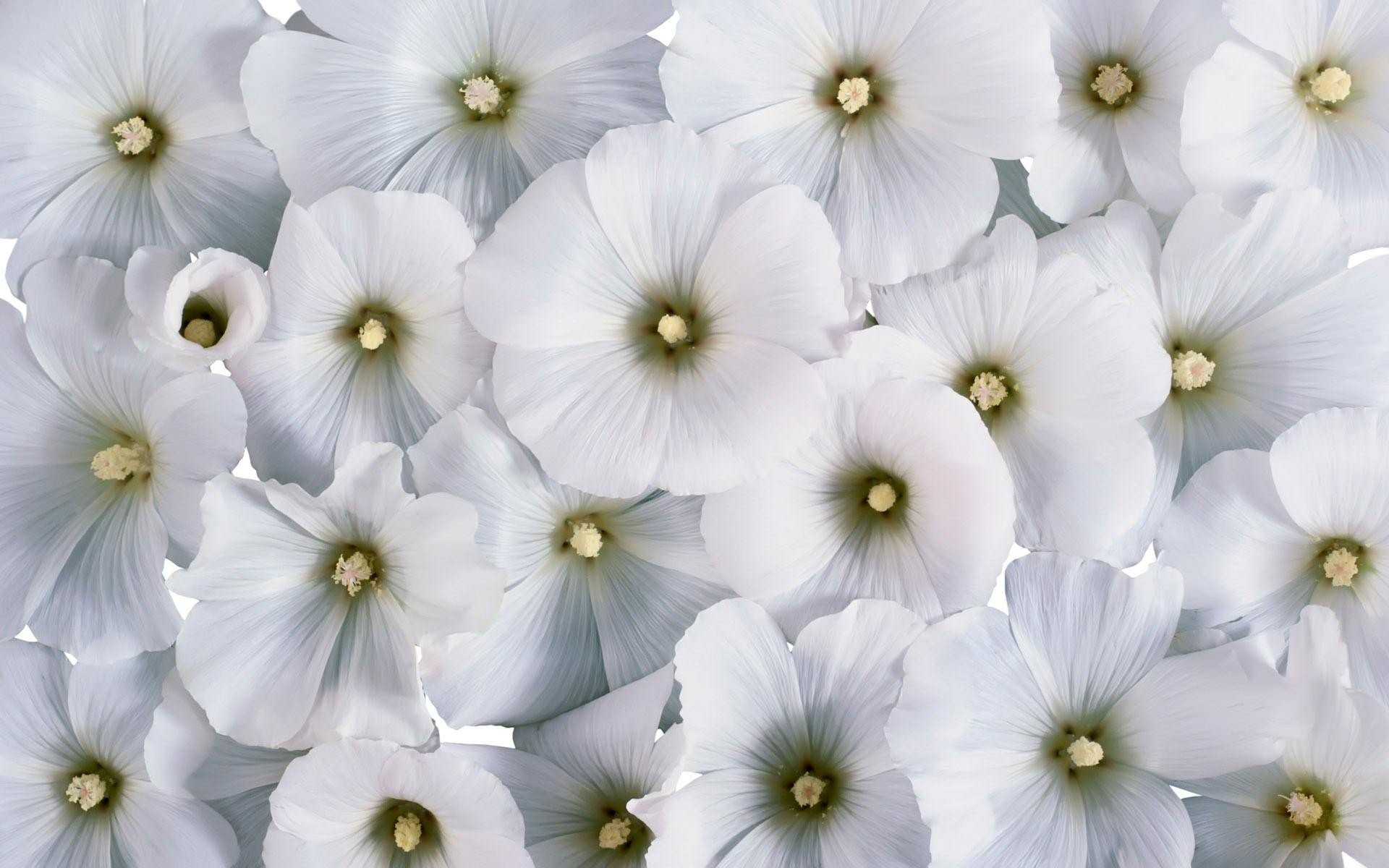 Res: 1920x1200, Natural White Flowers Background