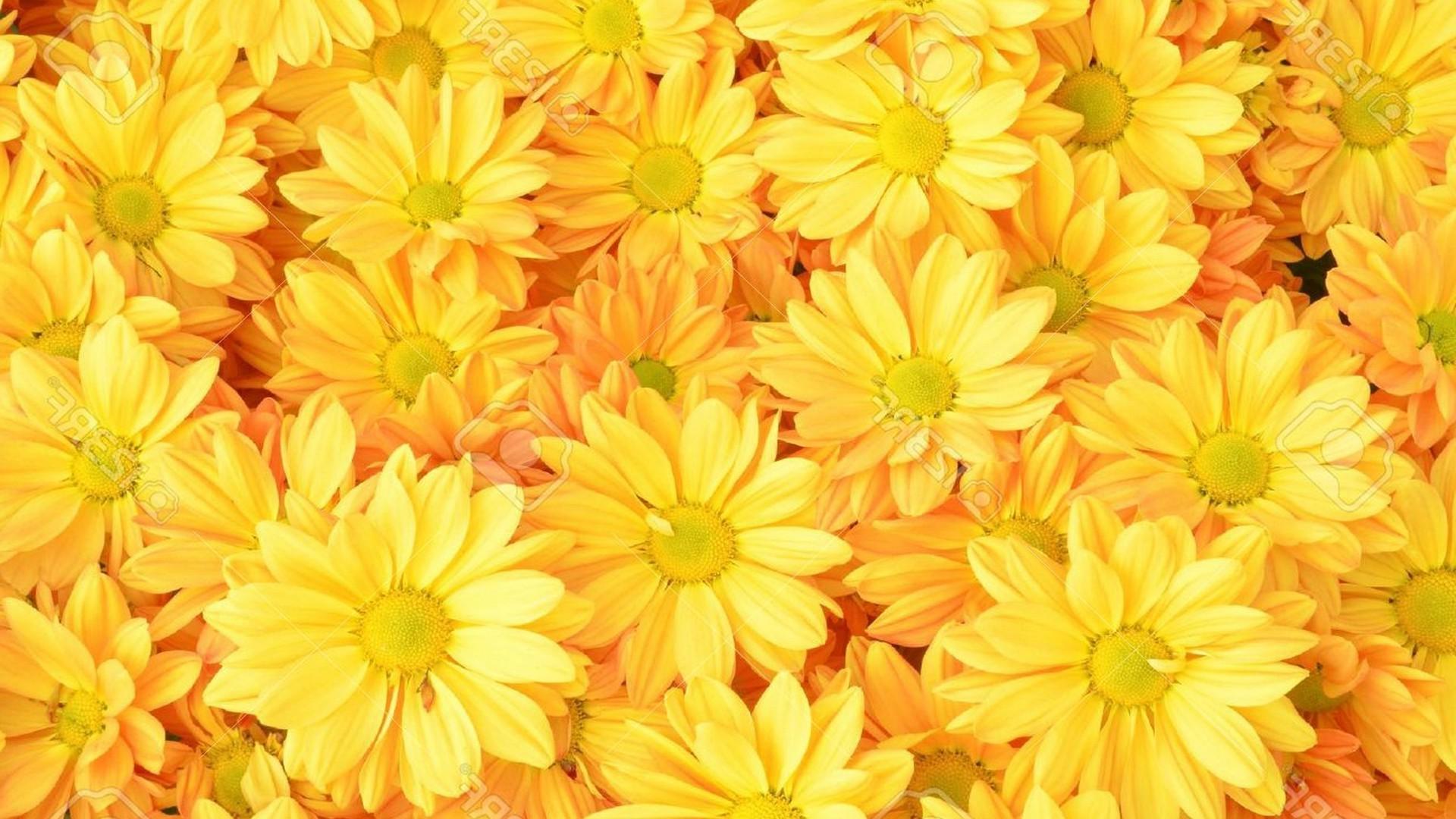 Res: 1920x1080, Yellow Chrysanthemum Flowers Background