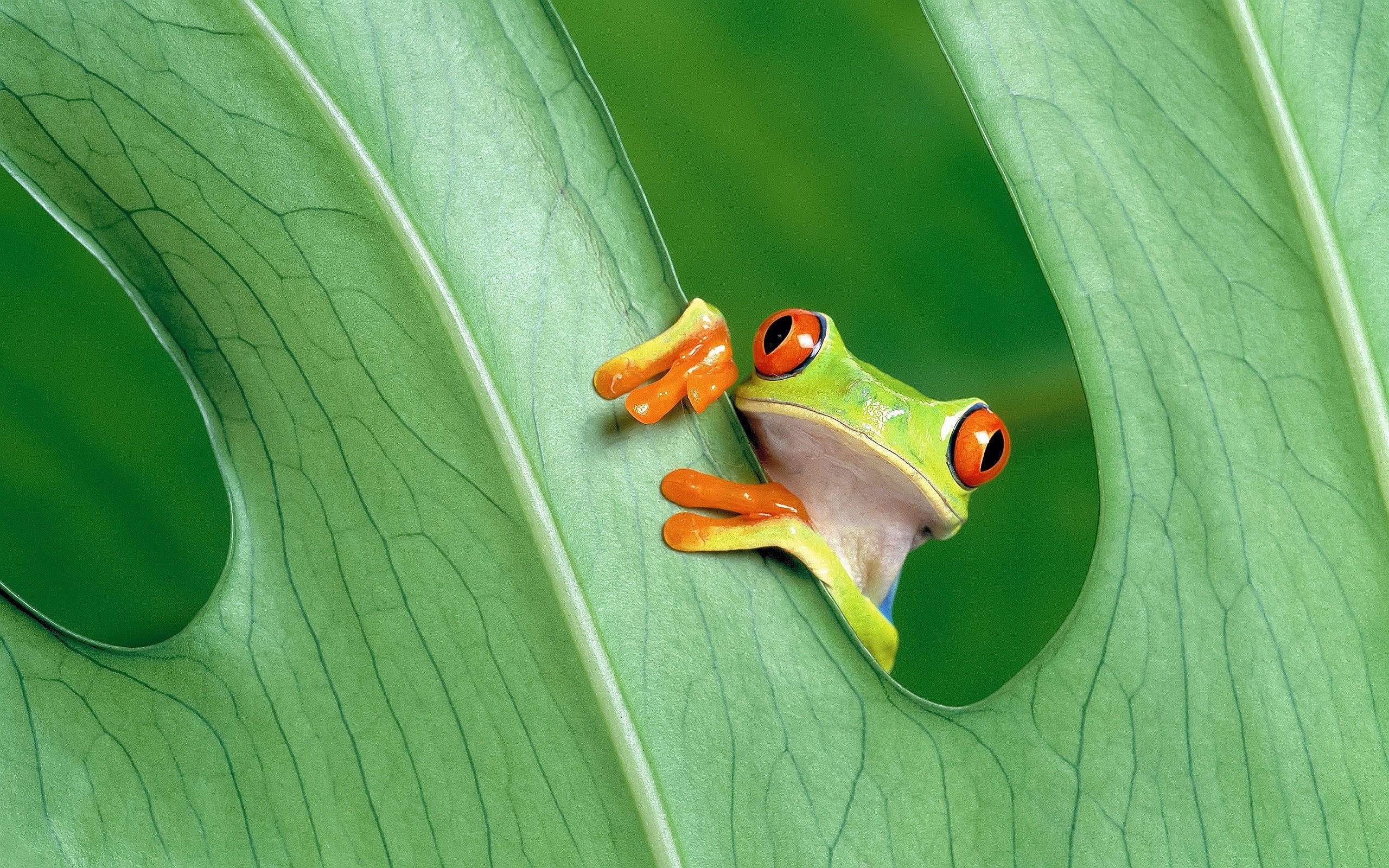 Res: 2560x1600, Tree Frog