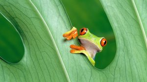 Tree Frog wallpapers