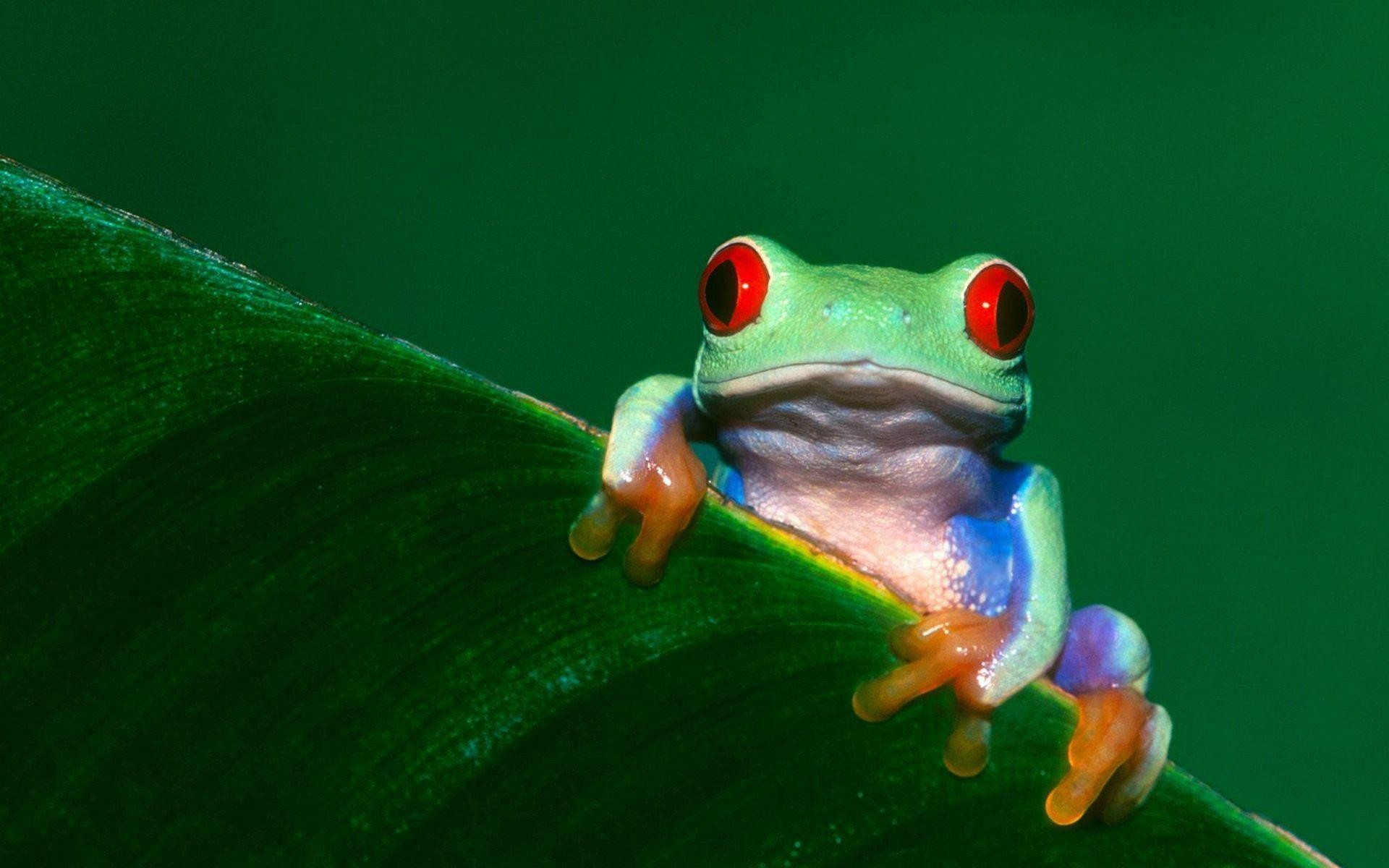 Res: 1920x1200, 38 Tree Frog Wallpapers | Tree Frog Backgrounds Page 2