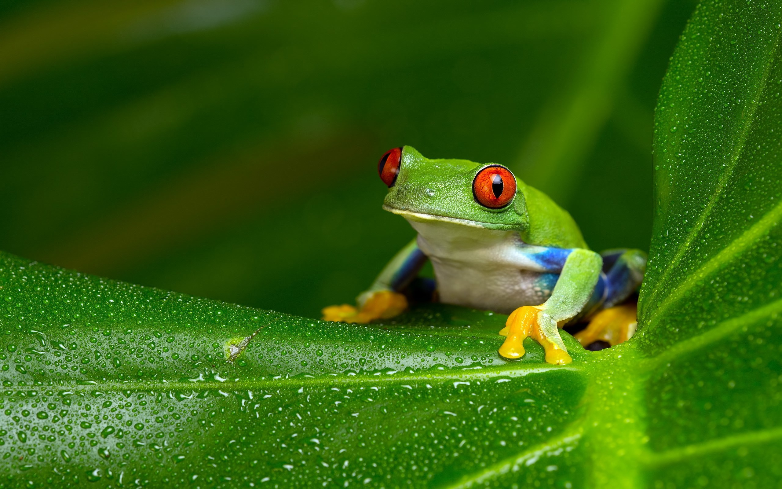 Res: 2560x1600, Tree Frog Wallpapers 5 - 2560 X 1600
