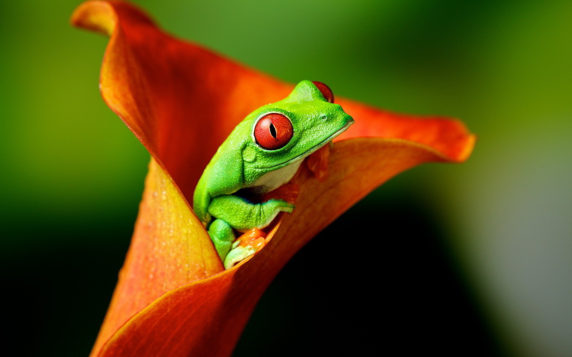 Res: 1920x1200, Cute Tree Frog