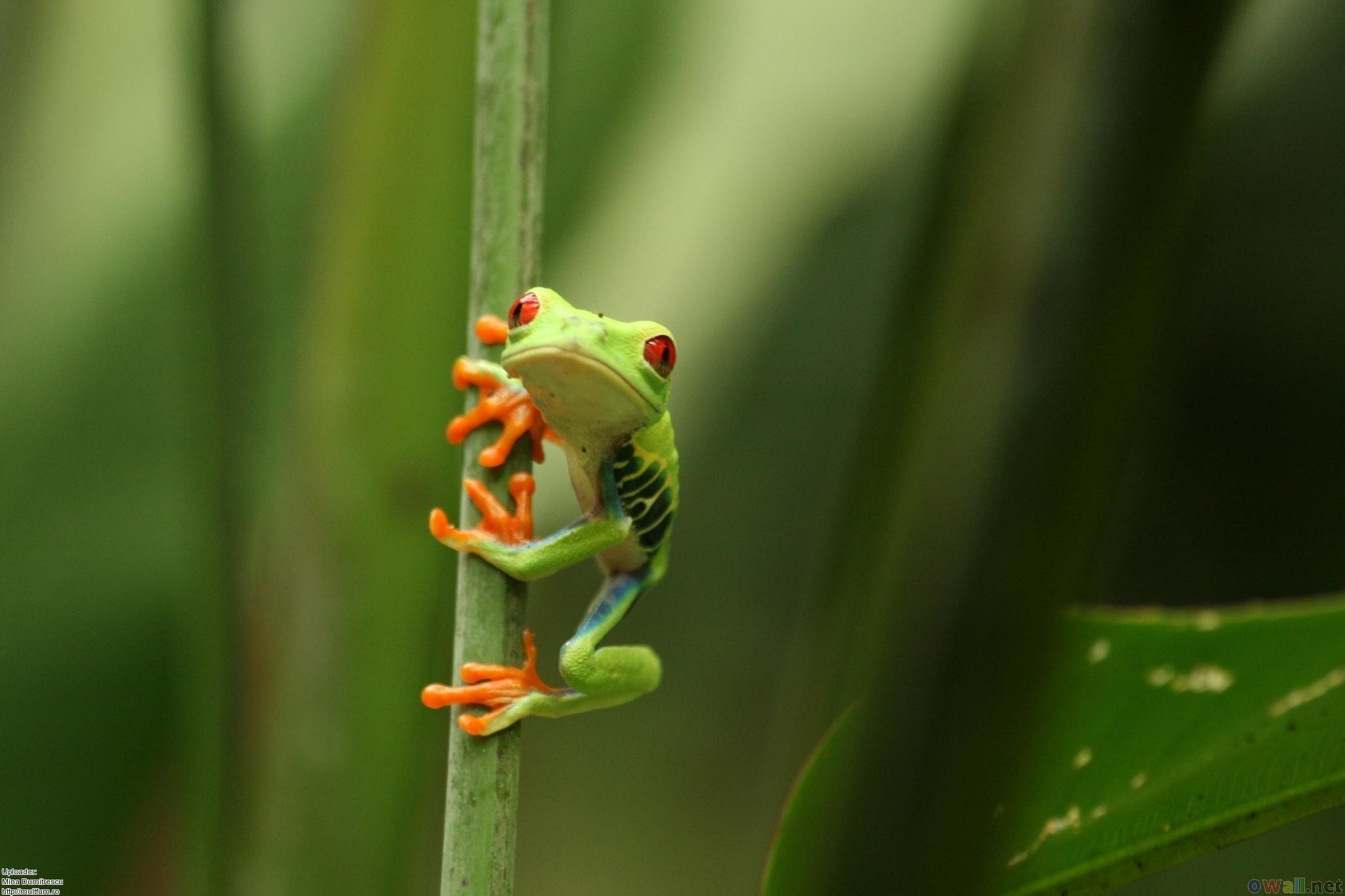 Res: 2048x1365, Frog Wallpaper High Definition