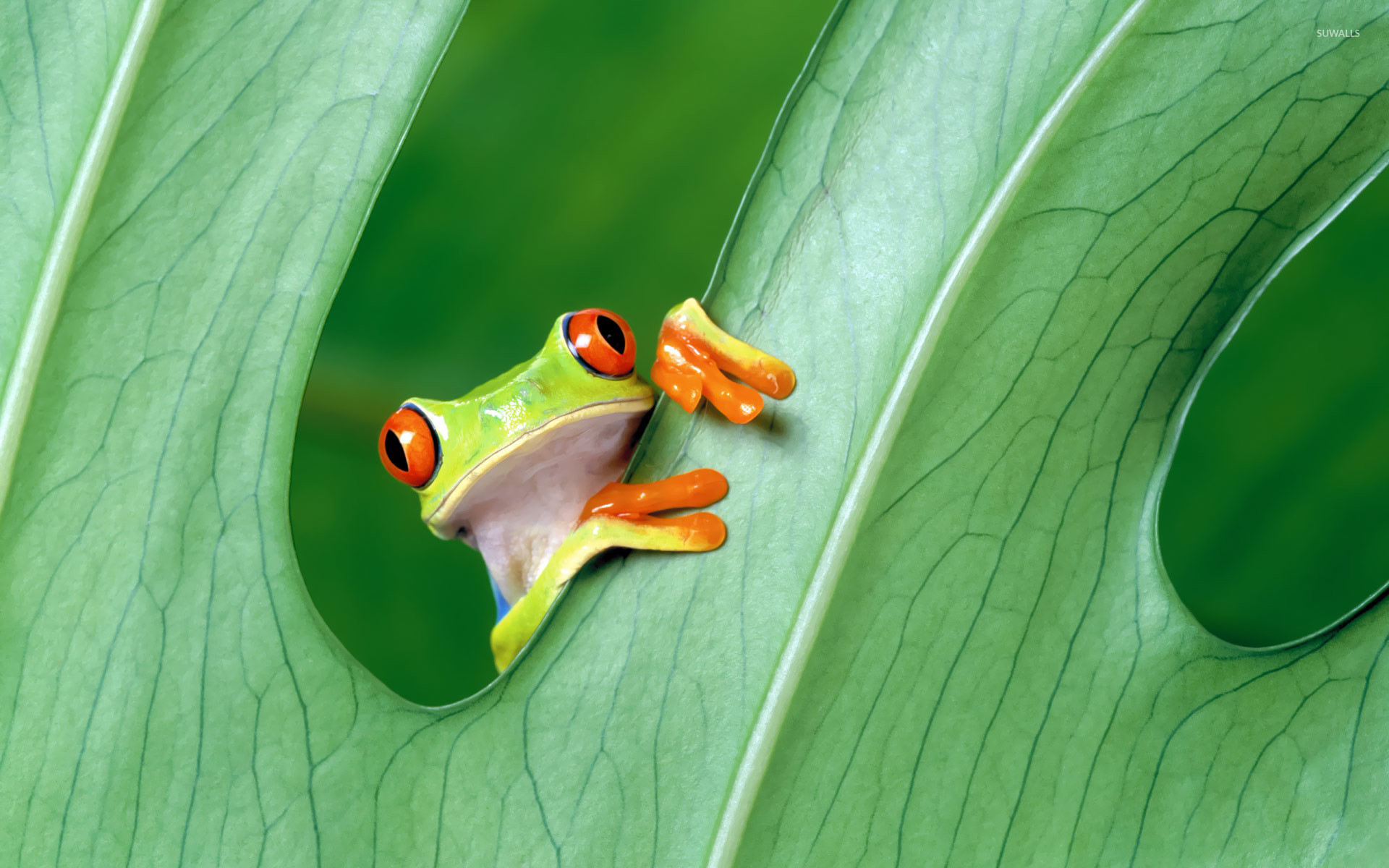 Res: 1920x1200, Red-eyed tree frog wallpaper