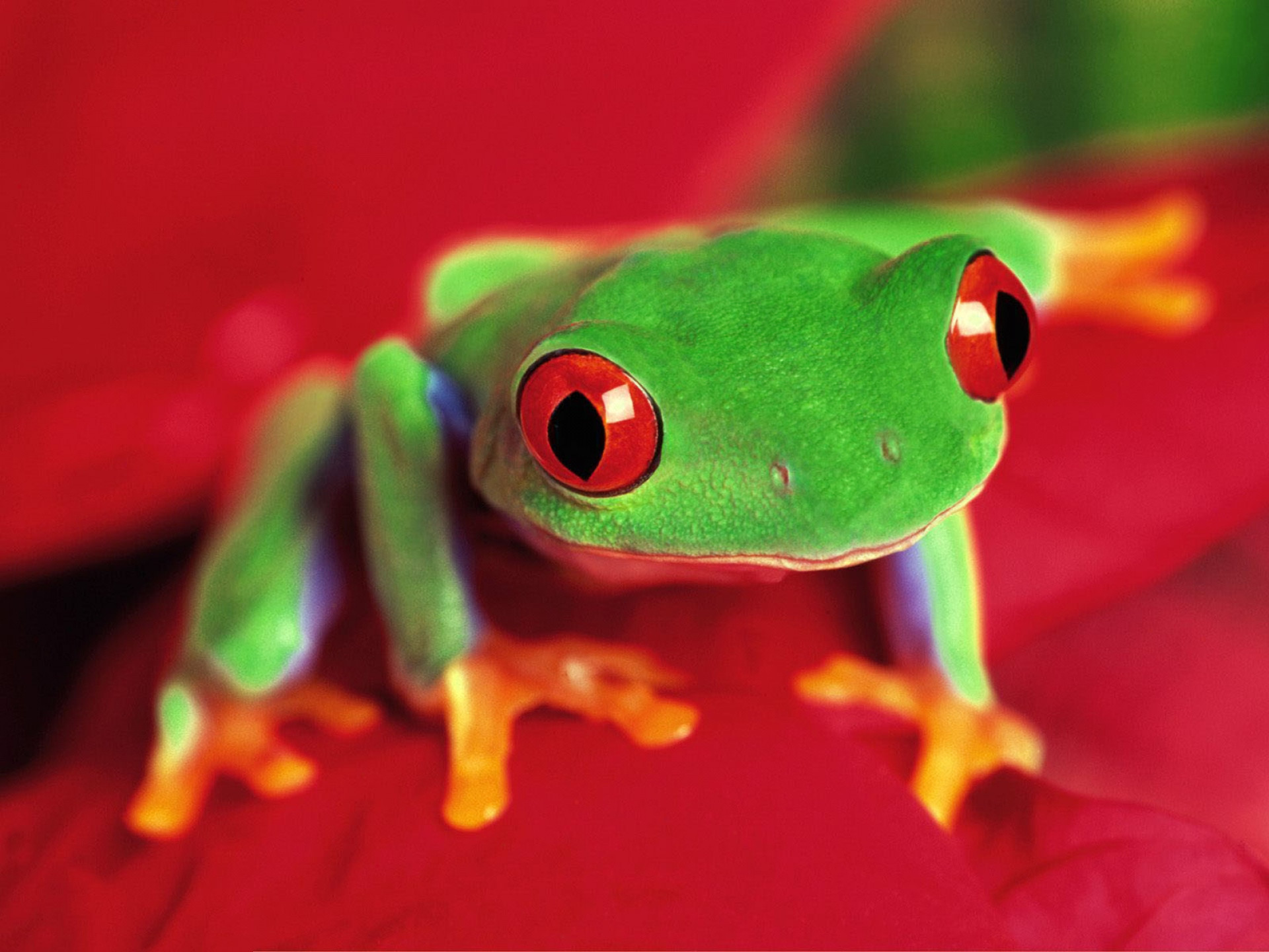 Res: 1920x1440, HD Wallpaper | Background Image ID:81320.  Animal Red Eyed Tree  Frog