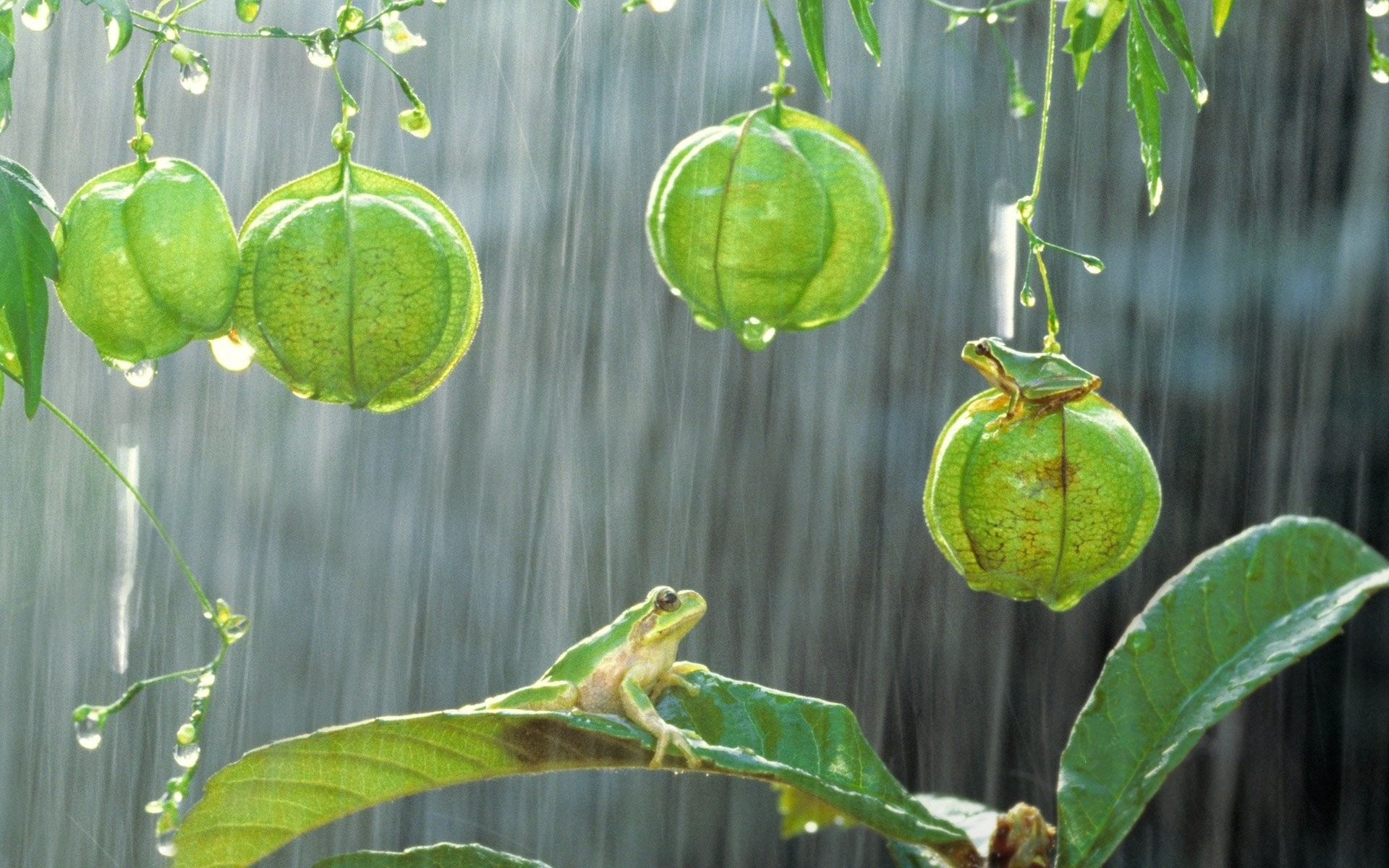 Res: 1920x1200, HD Wallpaper | Background Image ID:595225.  Animal Tree Frog