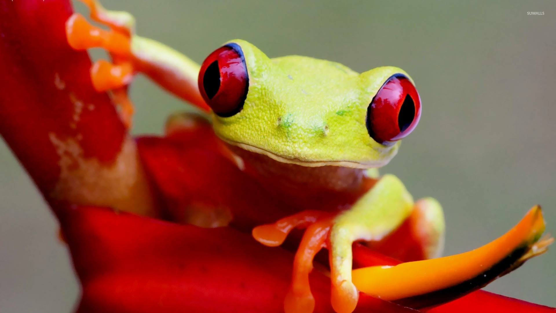 Res: 1920x1080, Red Eyed Tree Frog Wallpapers 14 - 1920 X 1080