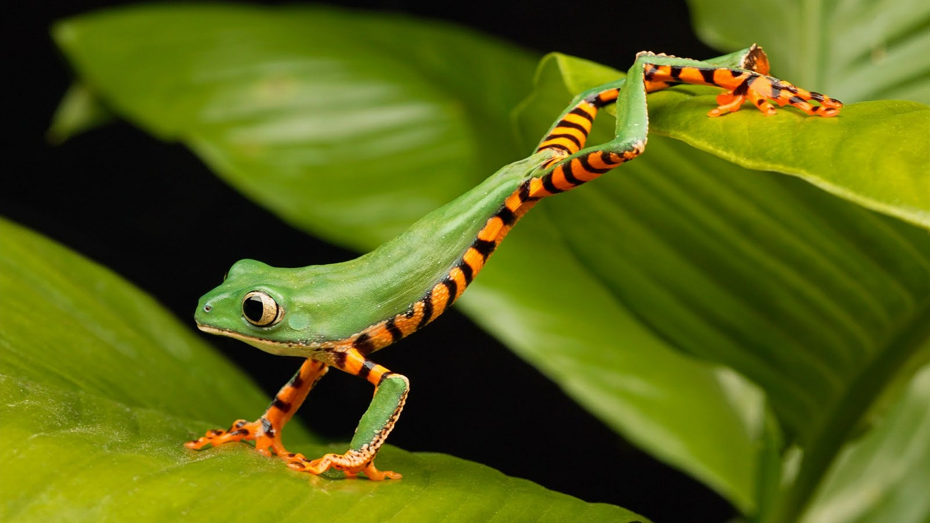 Res: 3840x2160, Tree Frogs images Tree Frog HD wallpaper and background photos