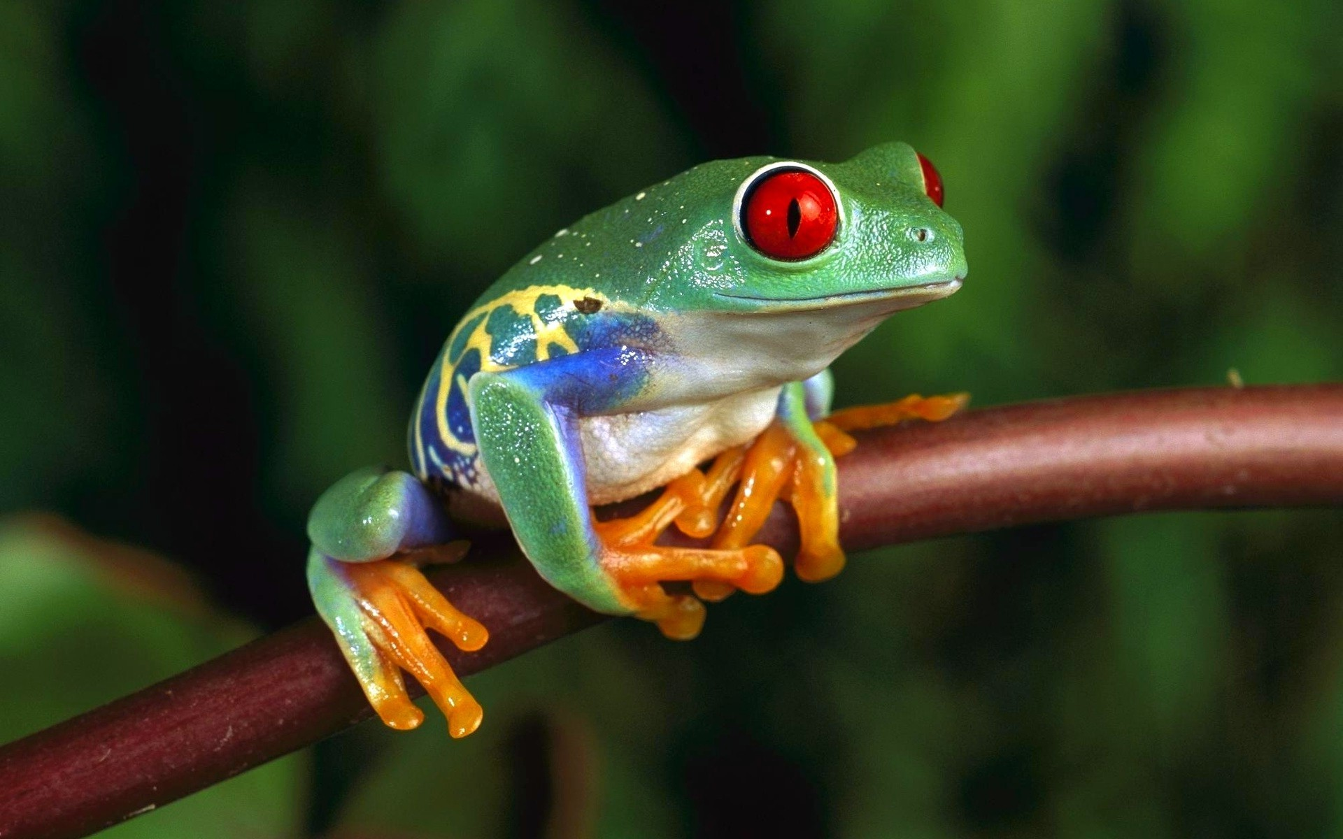 Res: 1920x1200, frog, Animals, Amphibian, Red Eyed Tree Frogs Wallpapers HD / Desktop and  Mobile Backgrounds