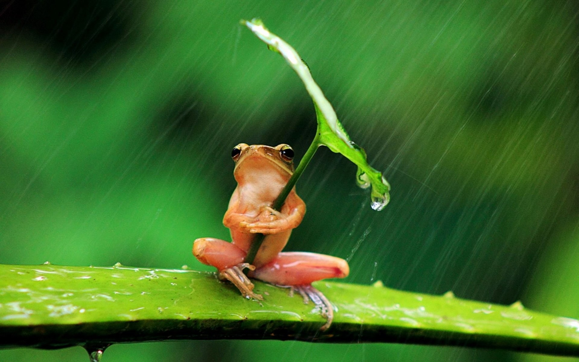 Res: 1920x1200, HD Wallpaper | Background Image ID:528244.  Animal Frog