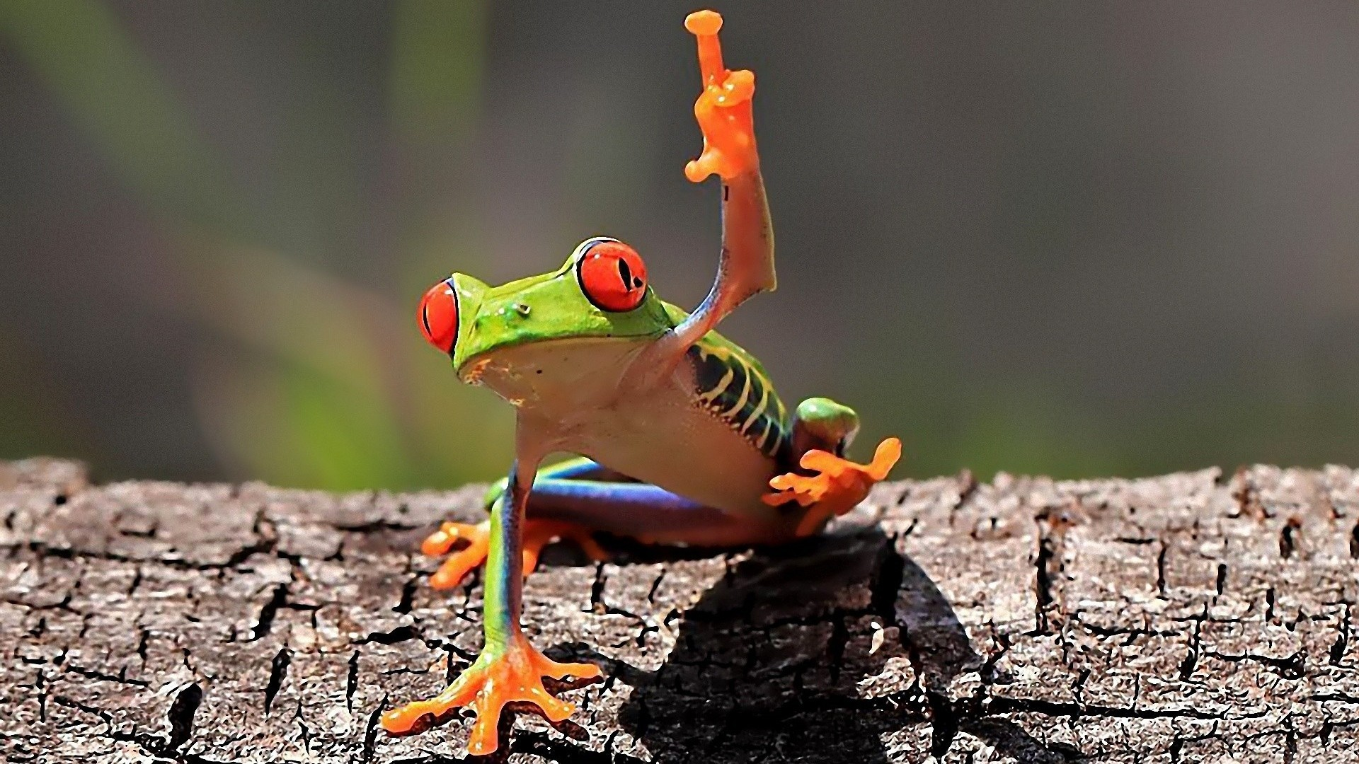 Res: 1920x1080, Tree Frog Wallpapers 11 - 1920 X 1080