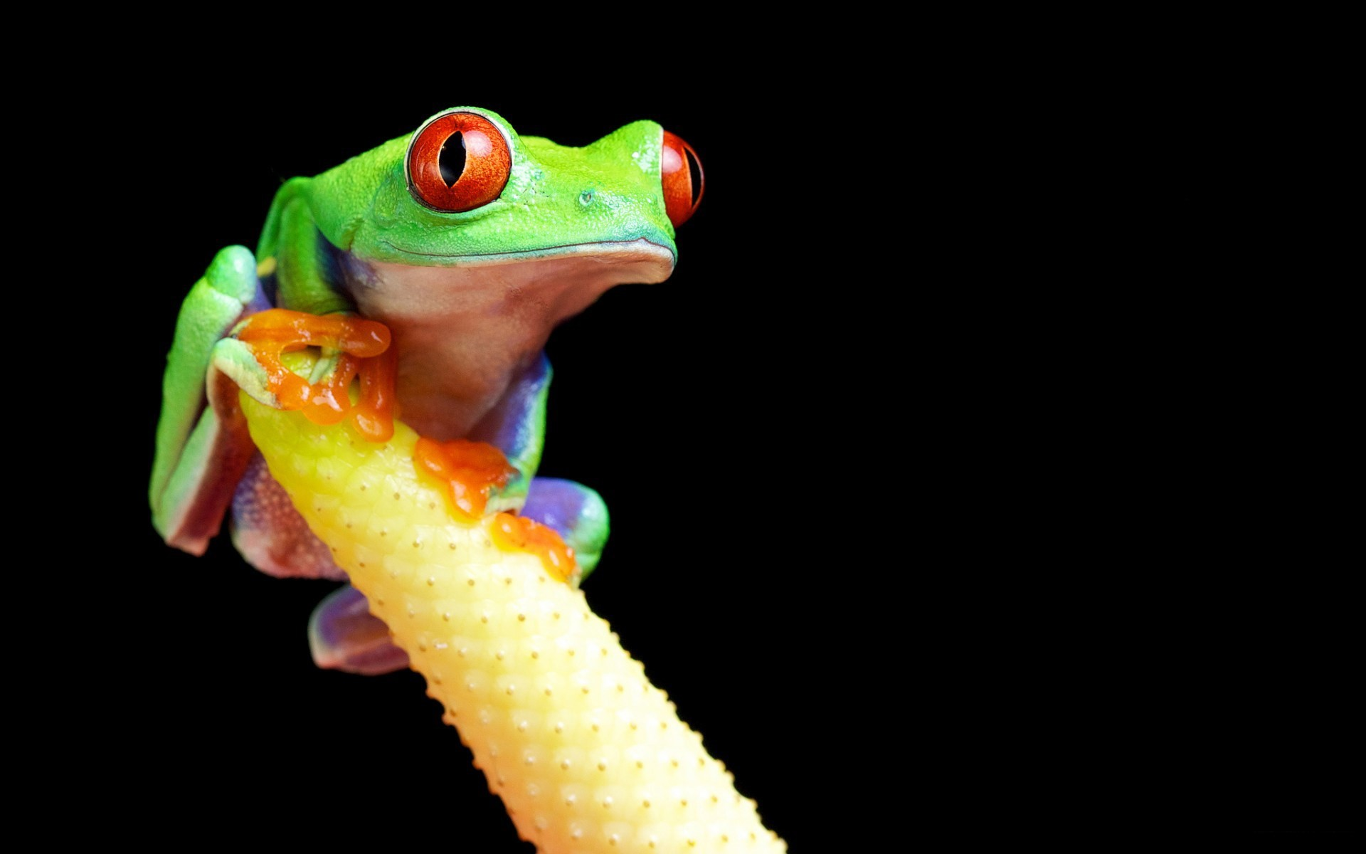 Res: 1920x1200, Red Eyed Tree Frog Wallpapers 11 - 1920 X 1200