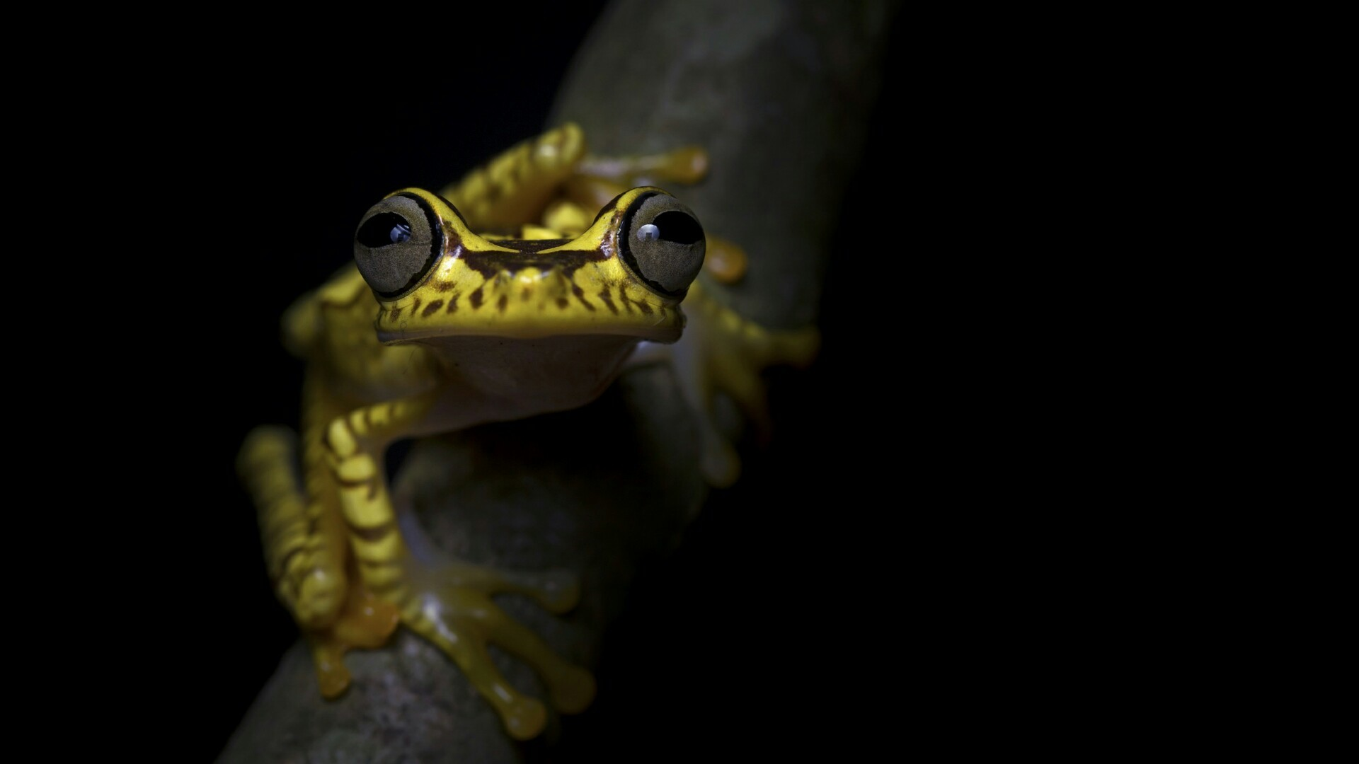 Res: 1920x1080, Imbabura Tree Frog Wallpaper | Wallpaper Studio 10 | Tens of thousands HD  and UltraHD wallpapers for Android, Windows and Xbox