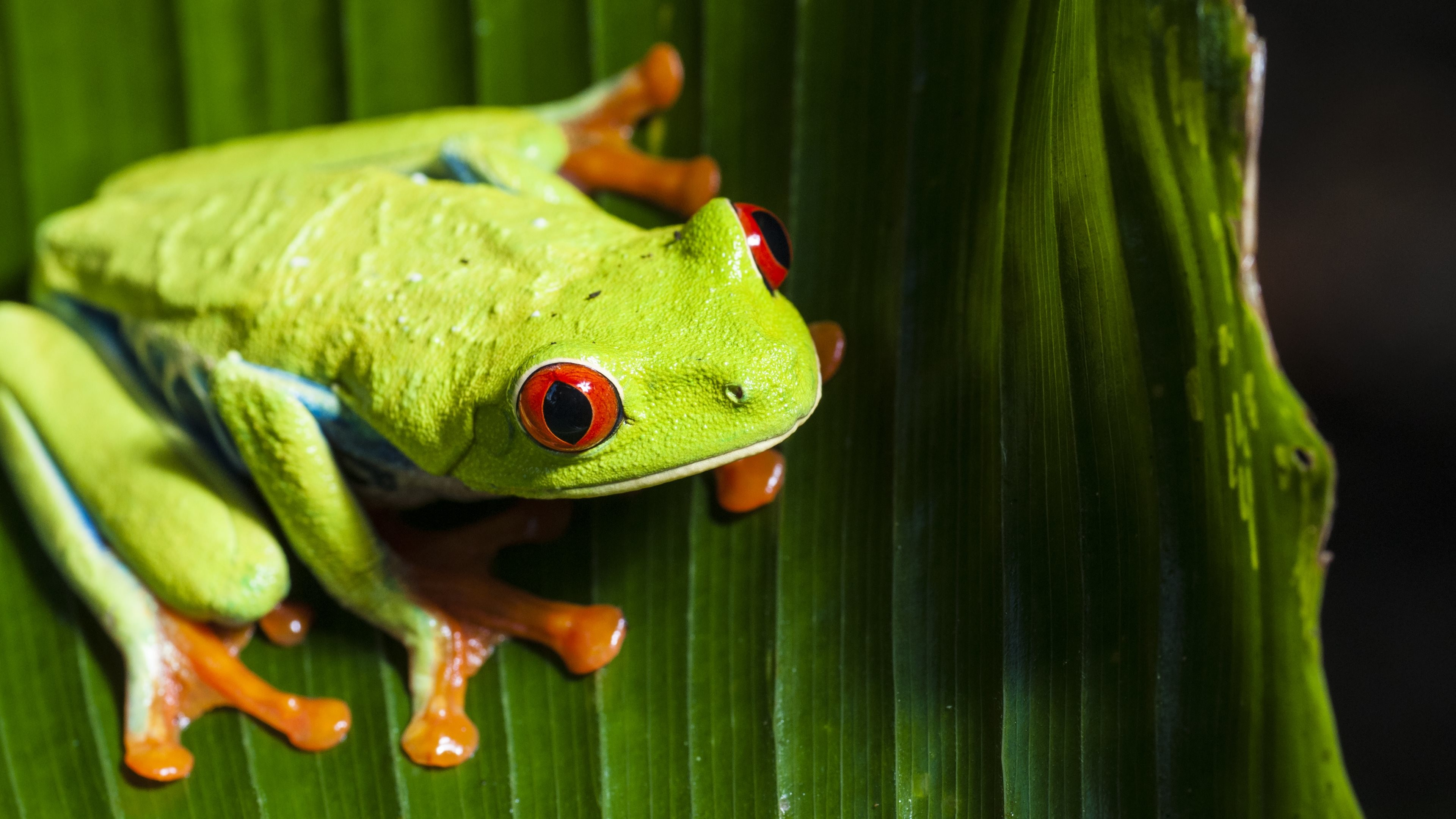 Res: 3840x2160, Red Eyed Tree Frog Wallpapers 13 - 3840 X 2160