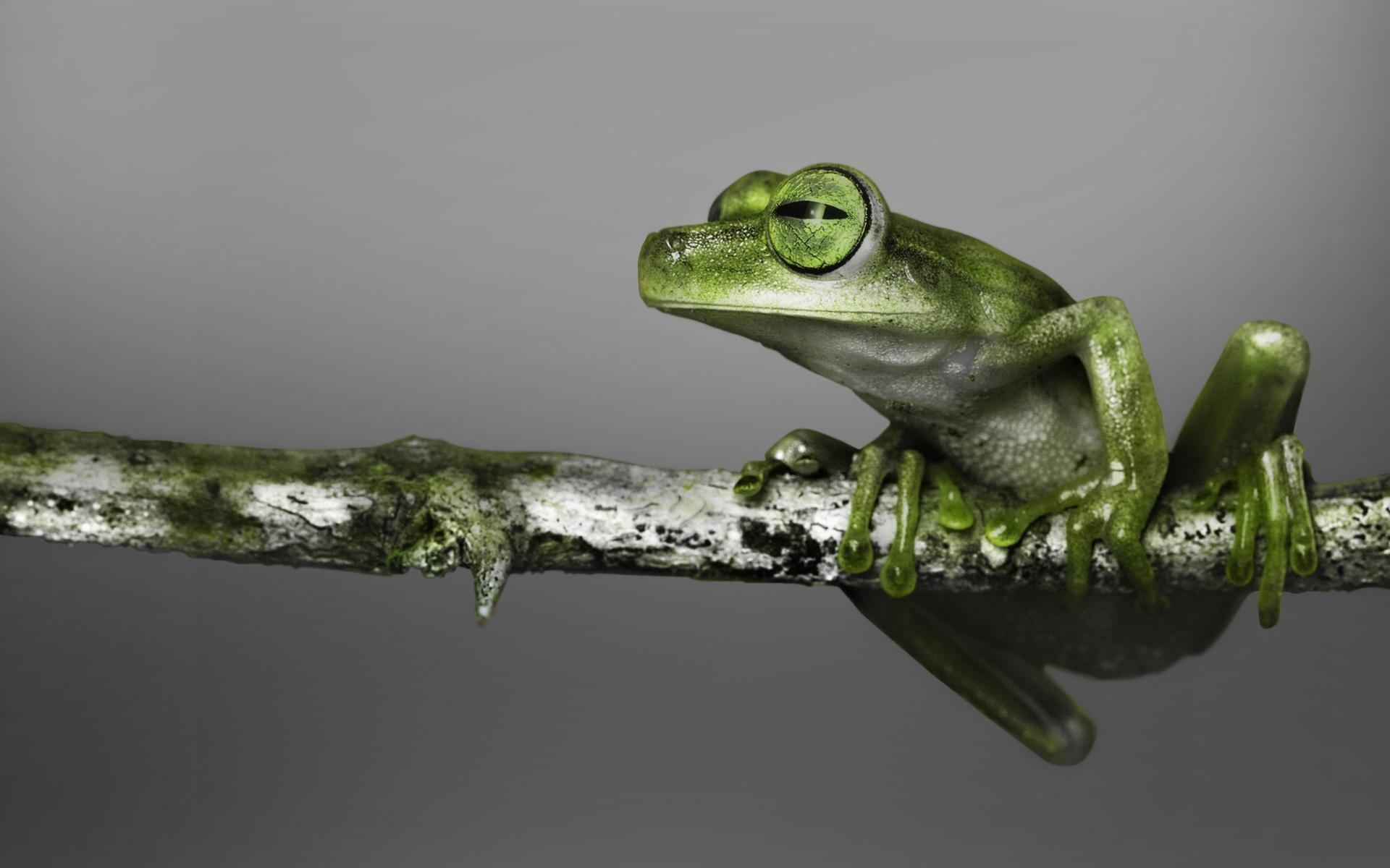 Res: 1920x1200, Green Tree Frog | 1920 x 1200 | Download | Close