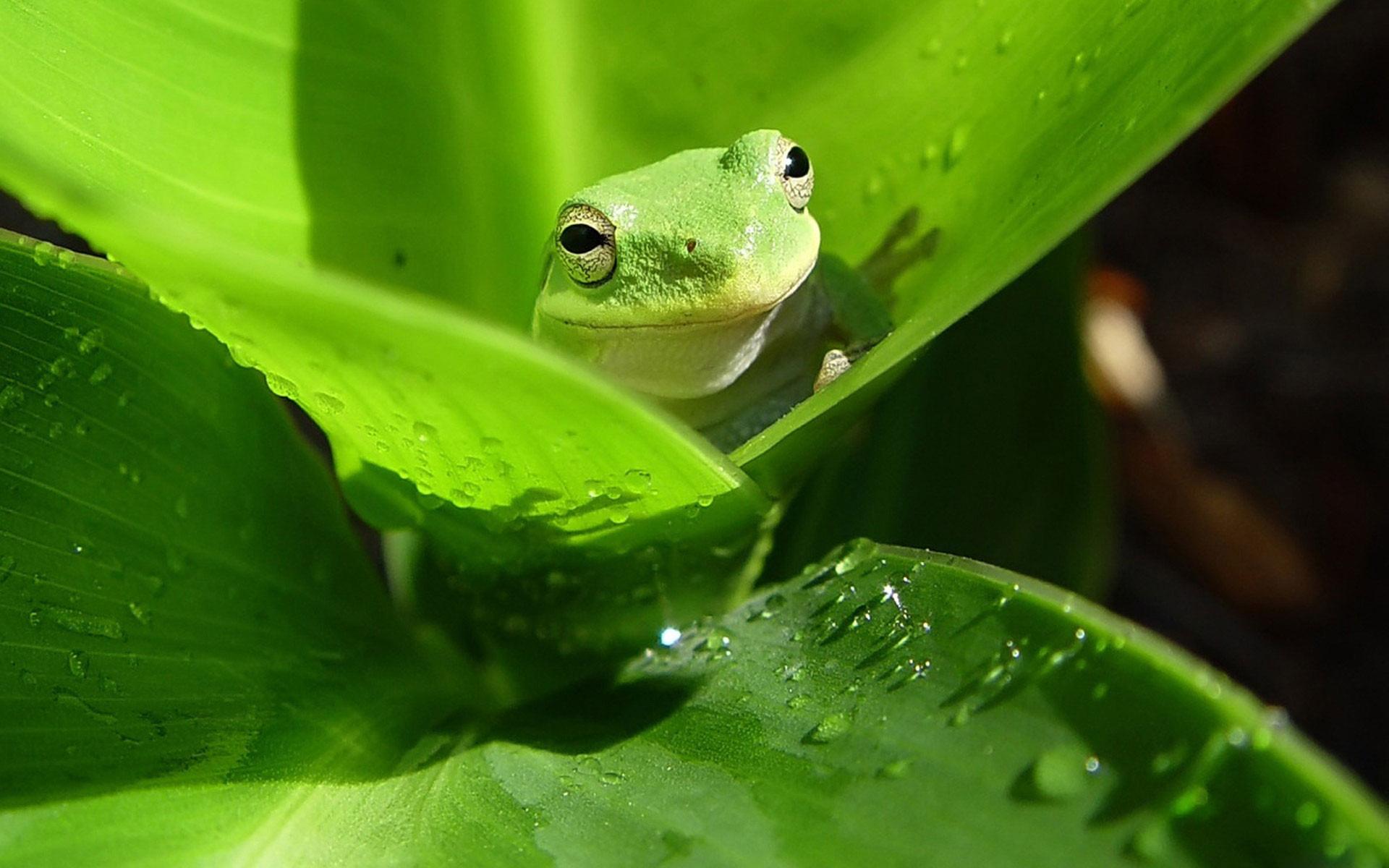Res: 1920x1200, Green Tree Frog Wallpaper