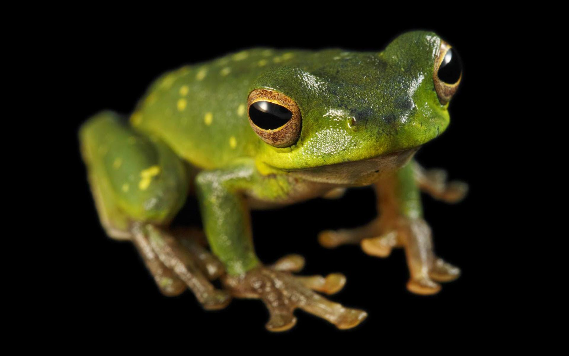 Res: 1920x1200, Animal - Tree Frog Frog Wallpaper