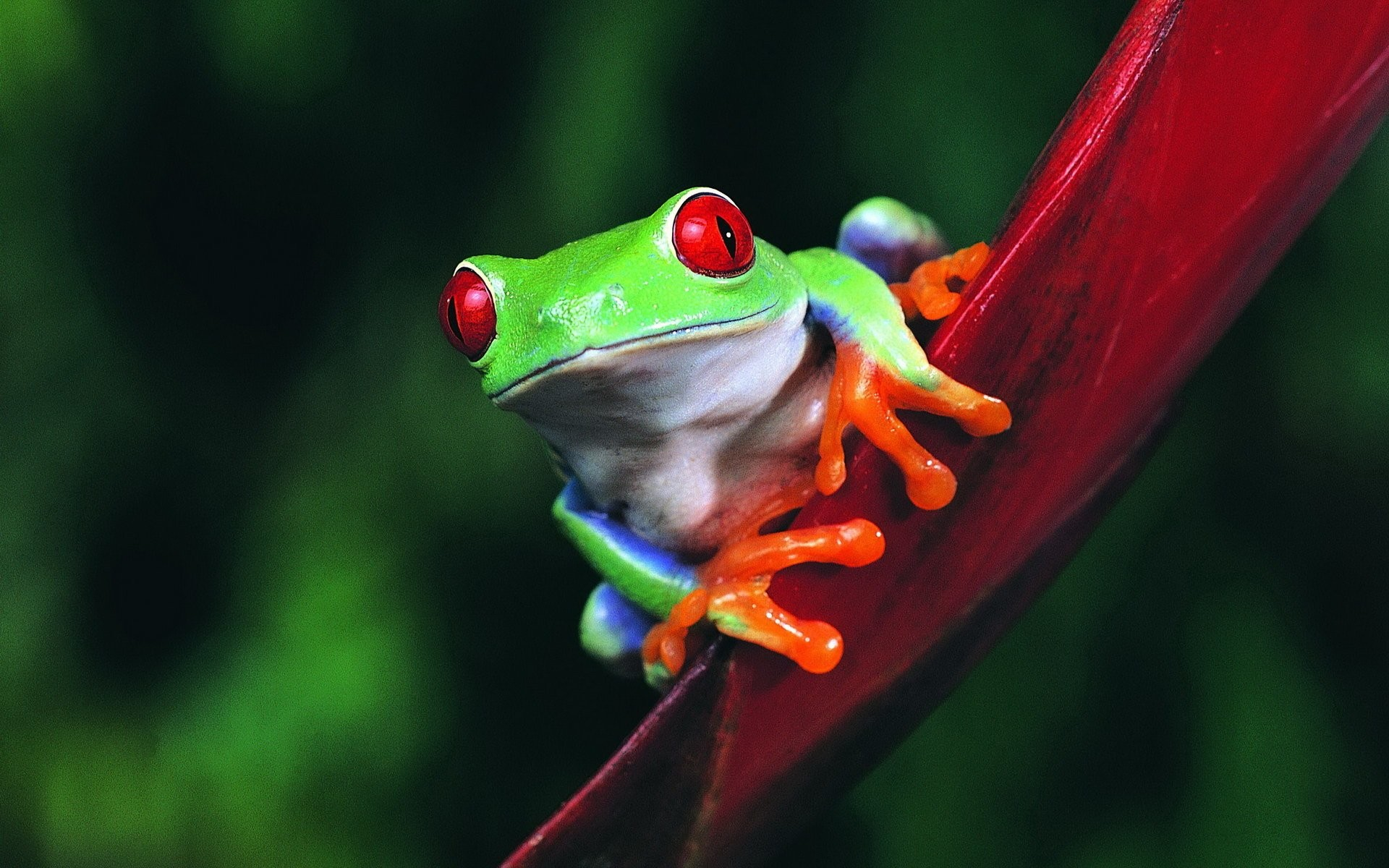 Res: 1920x1200, Tiere - Red Eyed Tree Frog Frosch Wallpaper