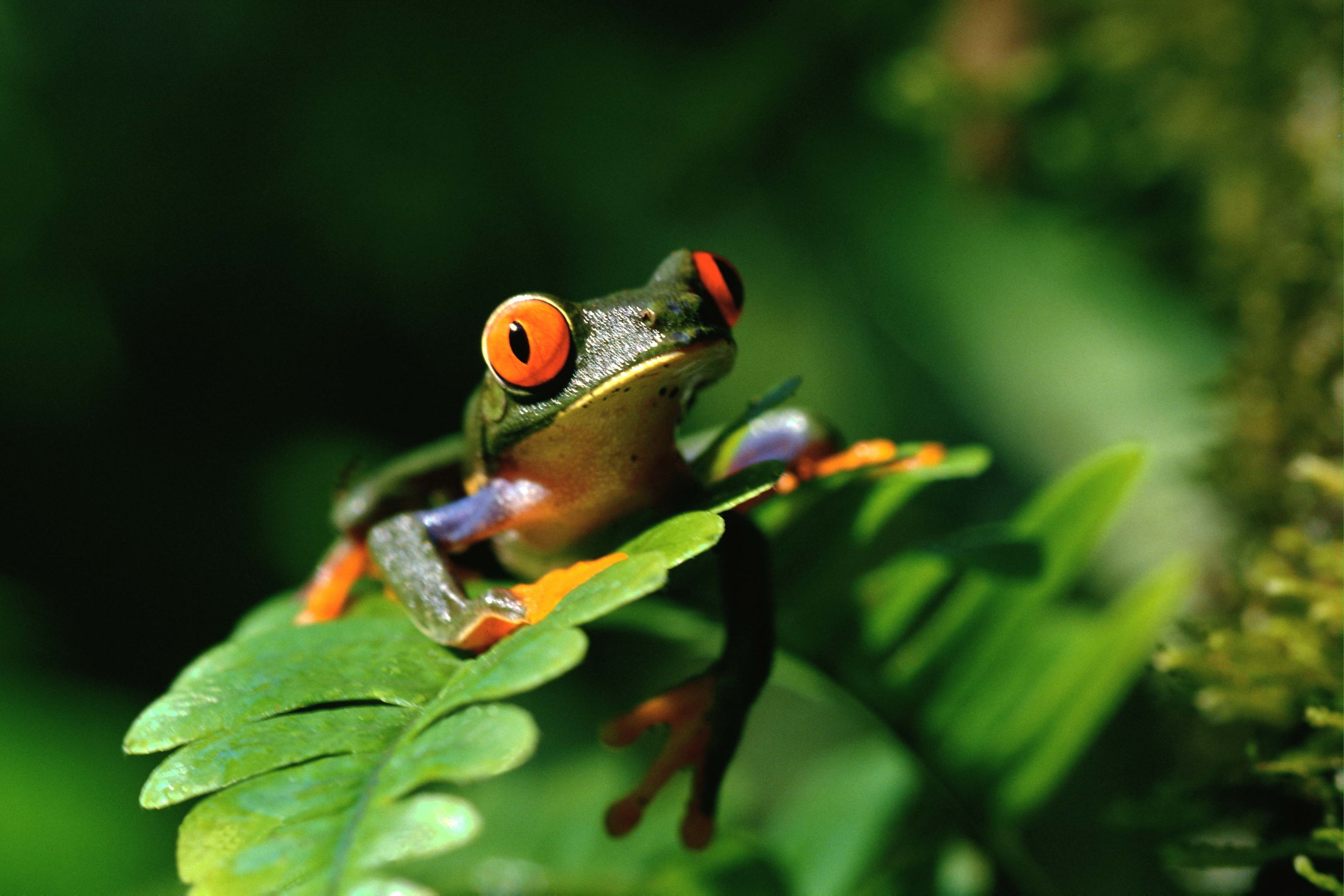 Res: 3072x2048, Frogs images Tree Frog HD wallpaper and background photos