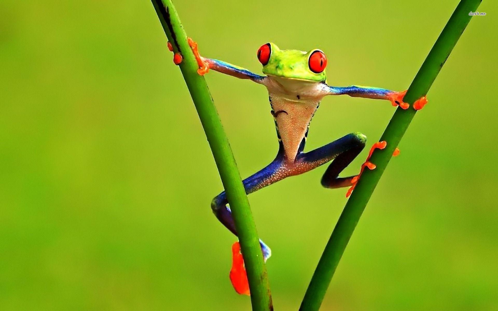 Res: 1920x1200, ... Funny frog wallpaper  ...