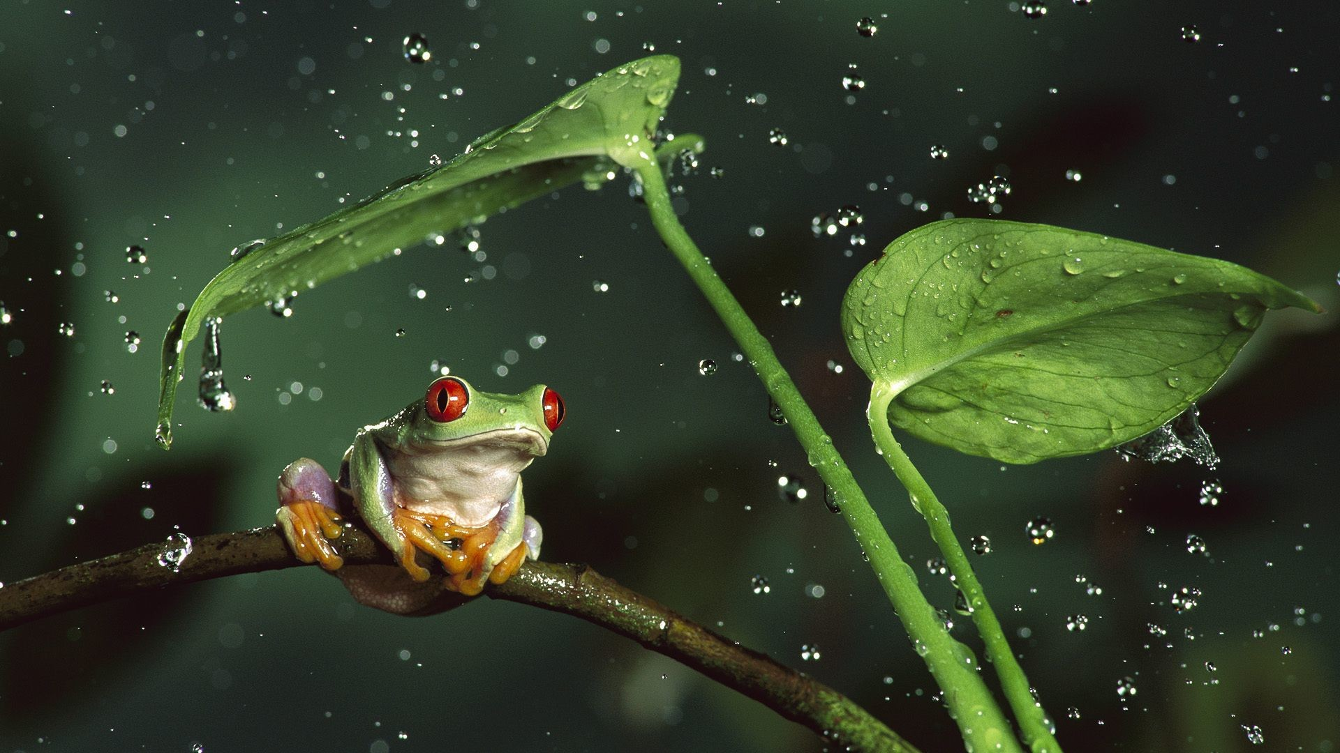 Res: 1920x1080, Tree Frog Wallpapers 17 - 1920 X 1080