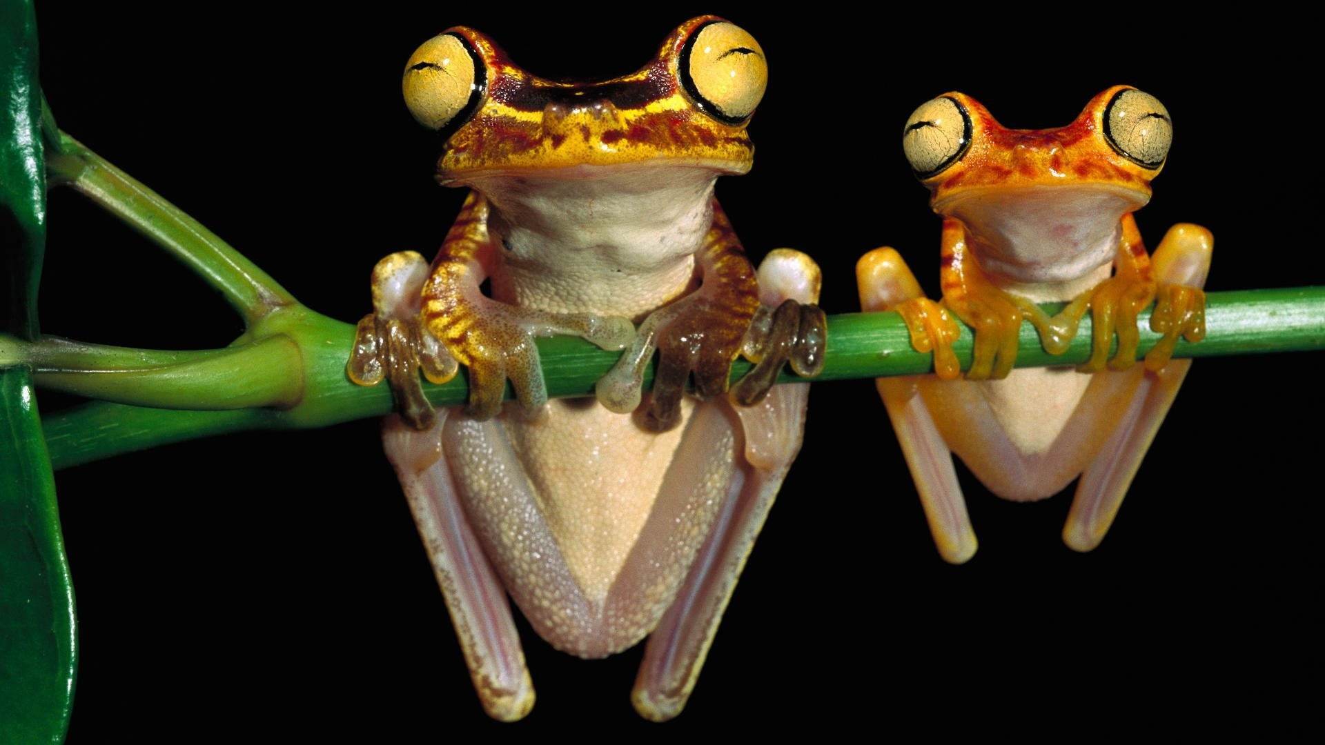Res: 1920x1080, HD Wallpaper | Background Image ID:437071.  Animal Tree Frog